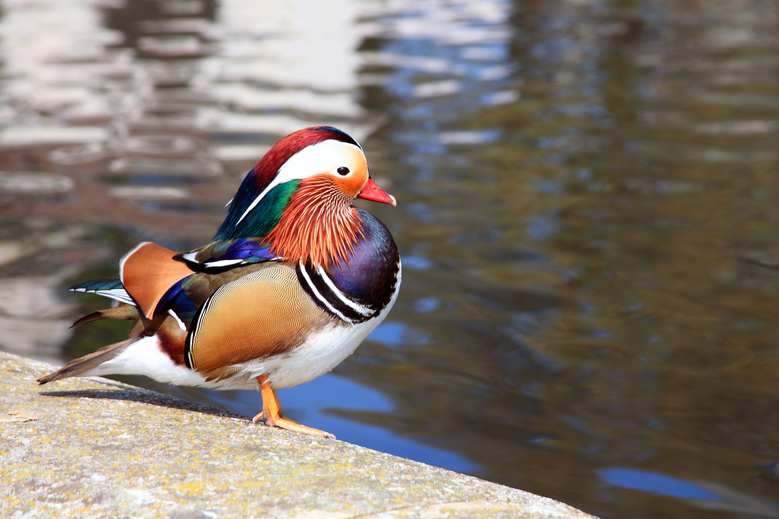 A rather splendid (if somewhat lonely) male mandarin at Cheddar Reservoir