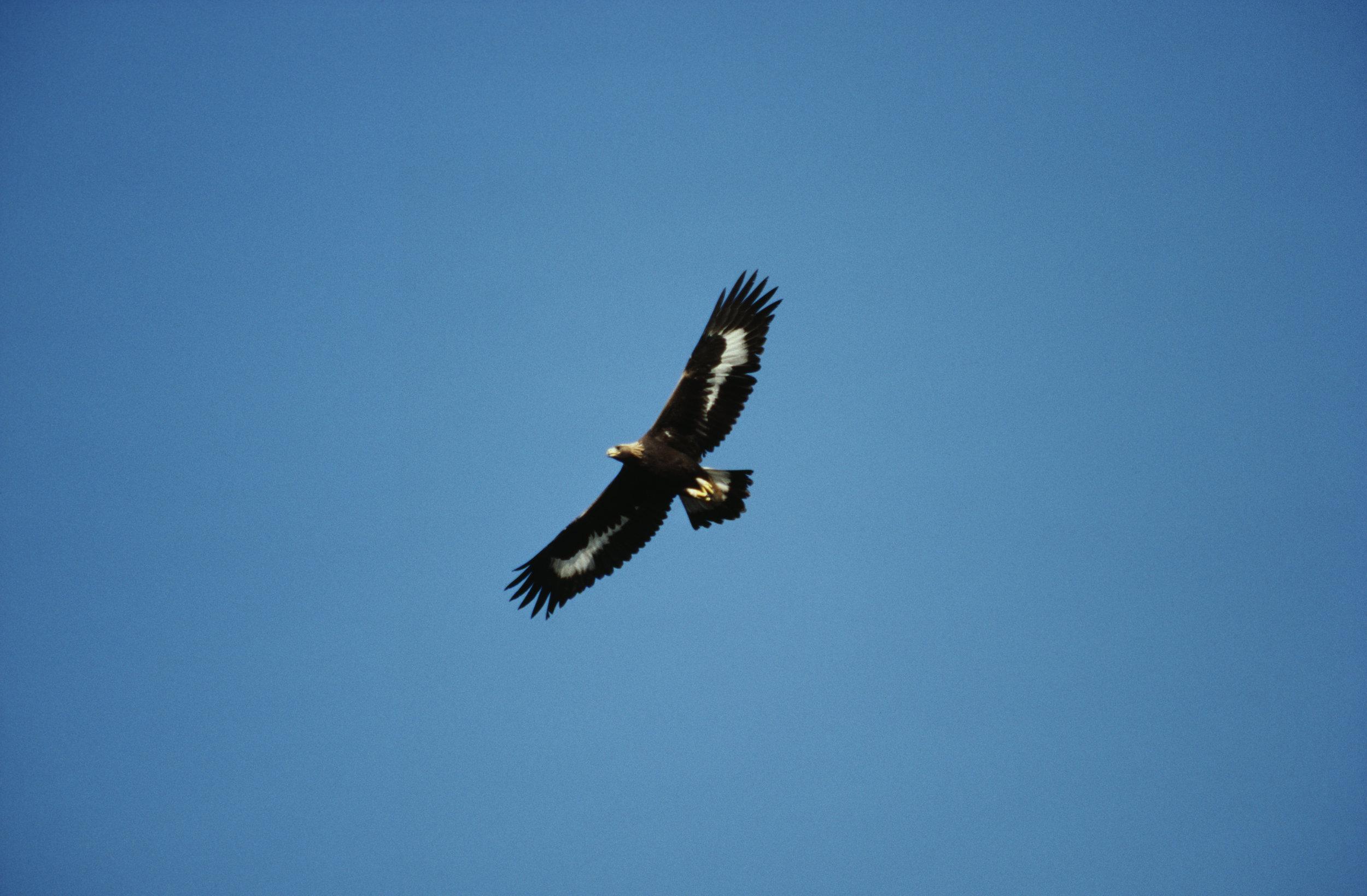 Cruising Golden Eagle