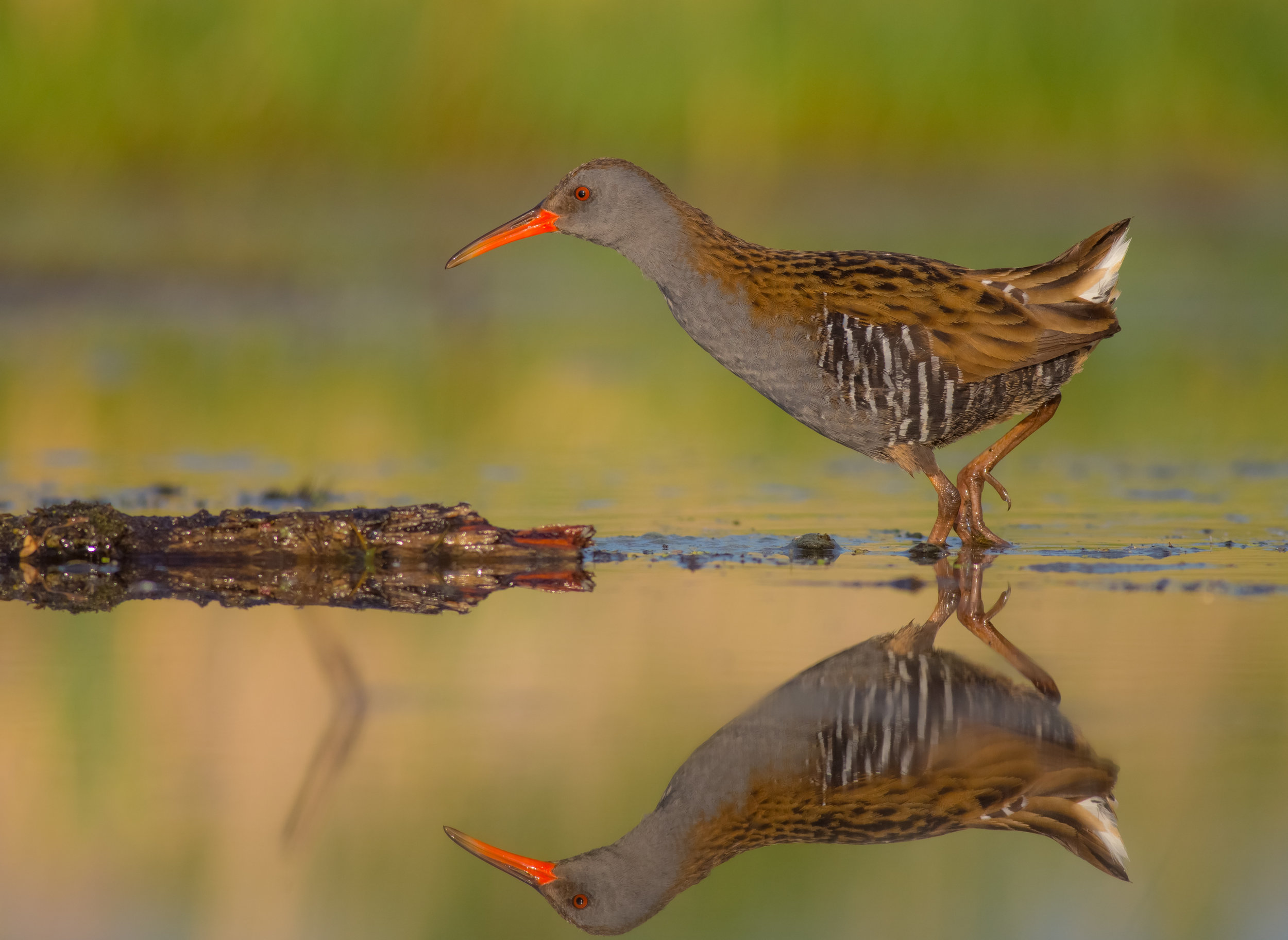 The elusive water rail