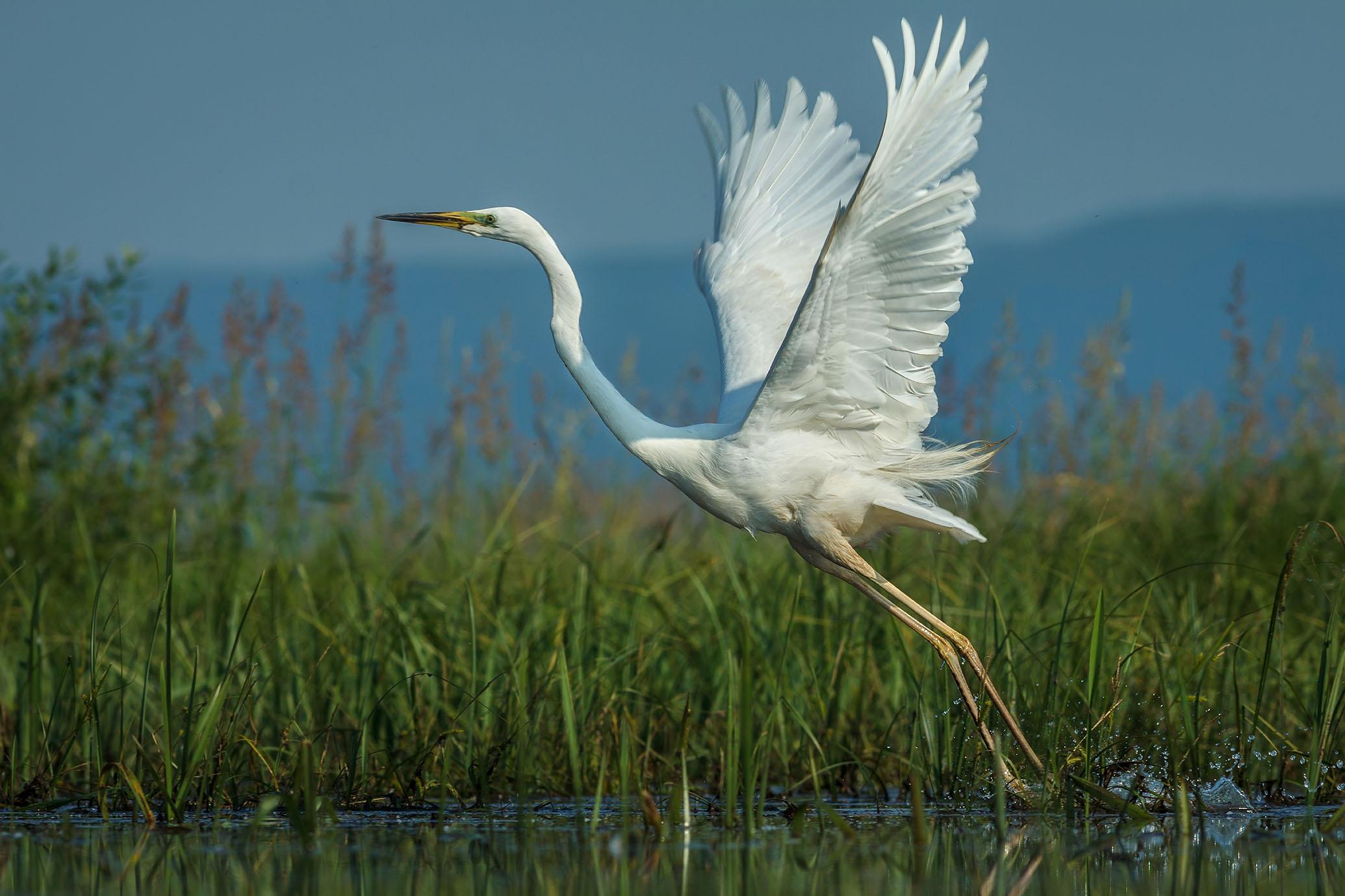 Great White Egret in flight.jpg