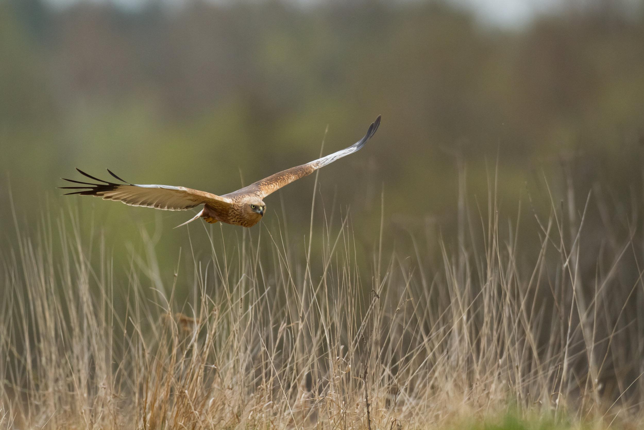 Marsh Harrier2.jpg