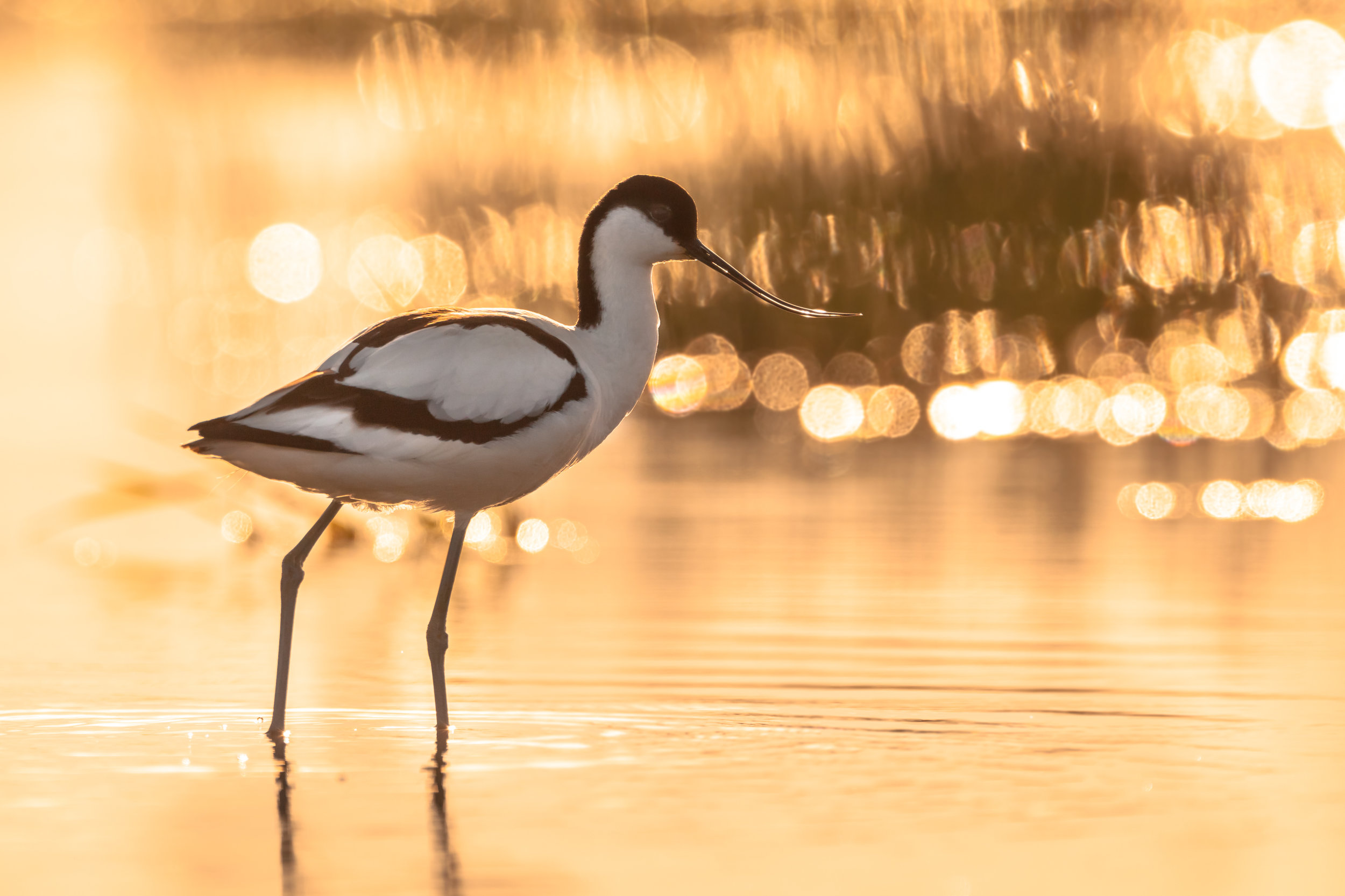 avocet in sunshine.jpg