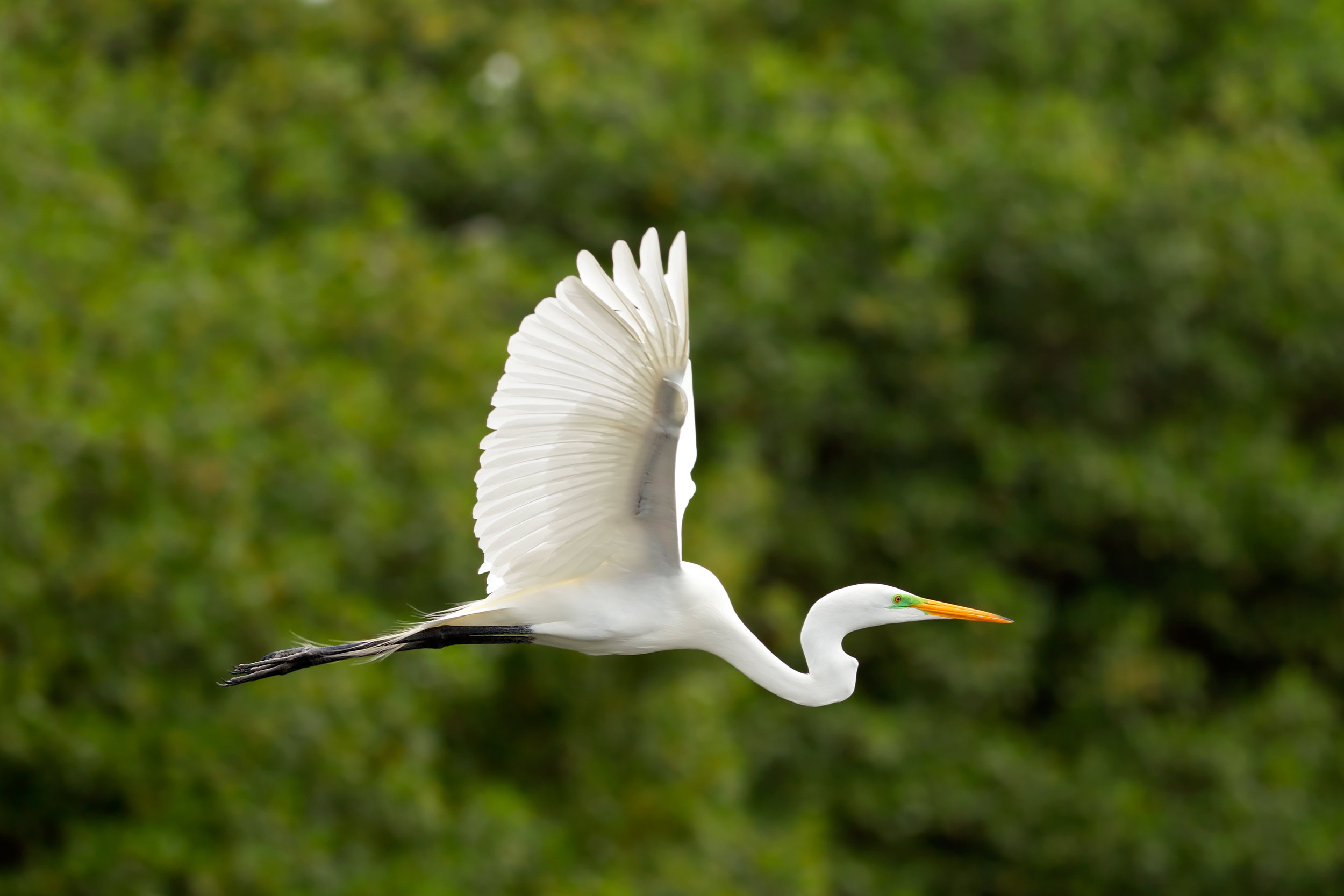 Great white egret3.jpg