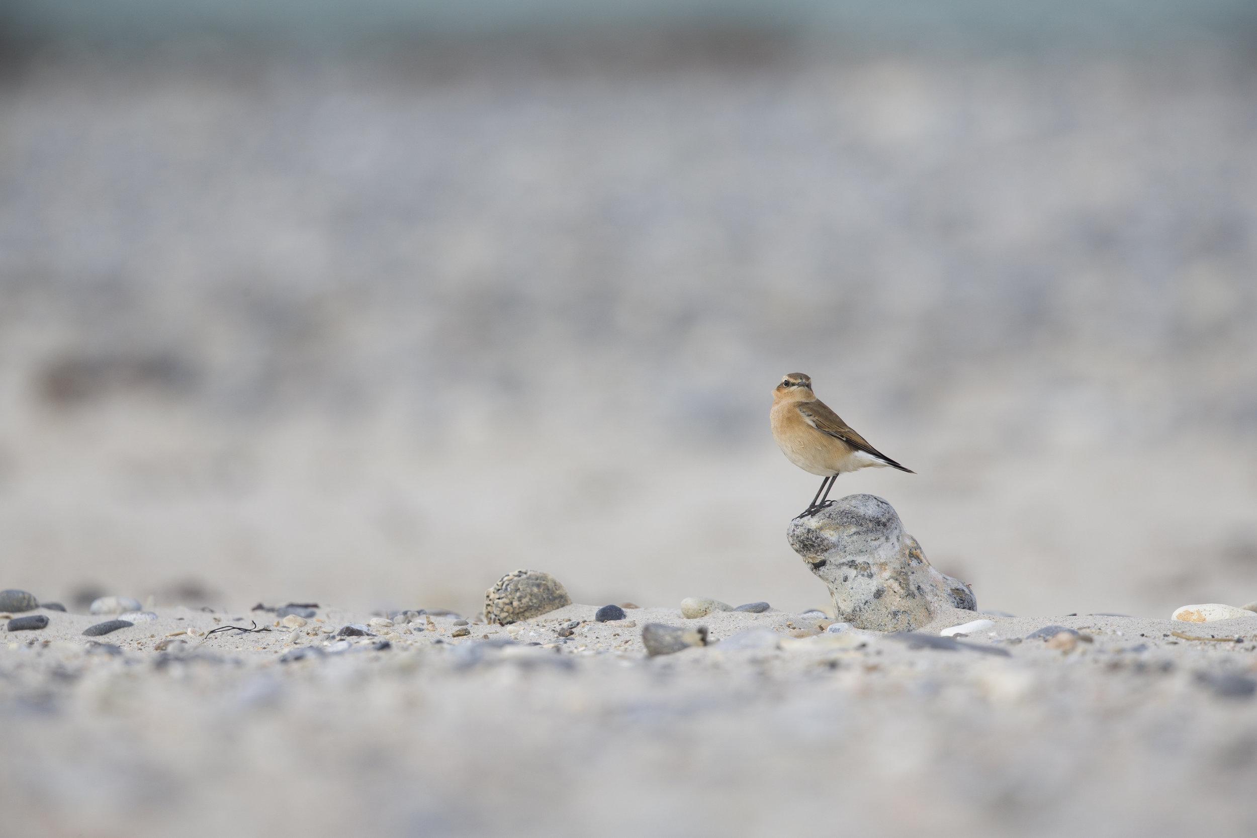 wheatear on beach.jpg