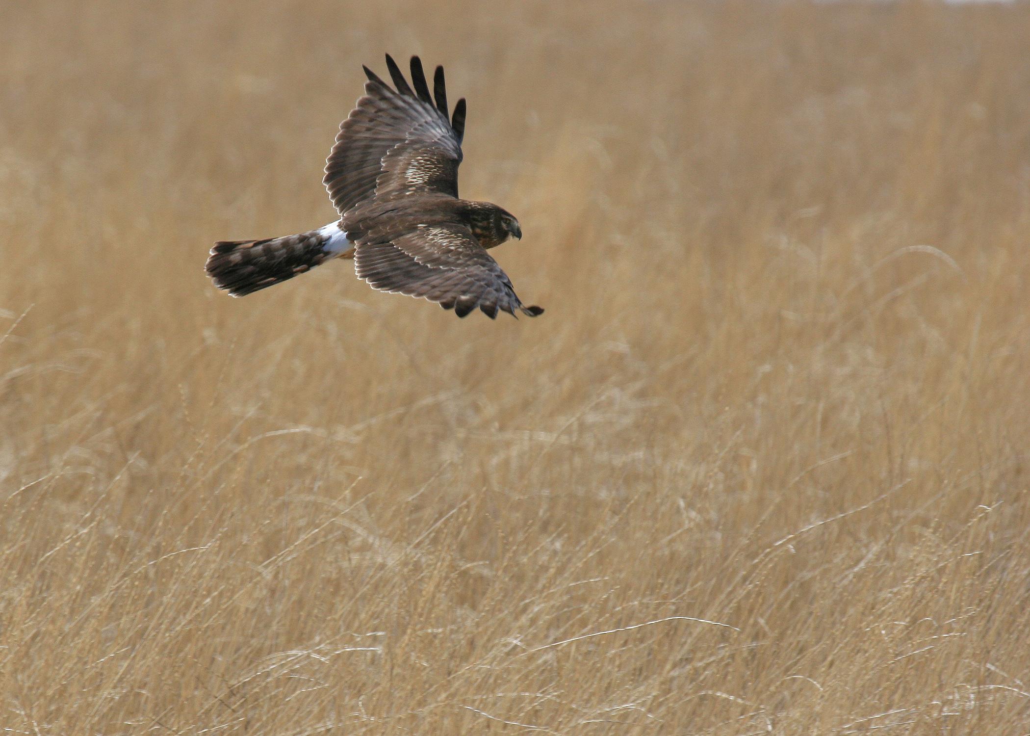 female hen harrier or ringtail