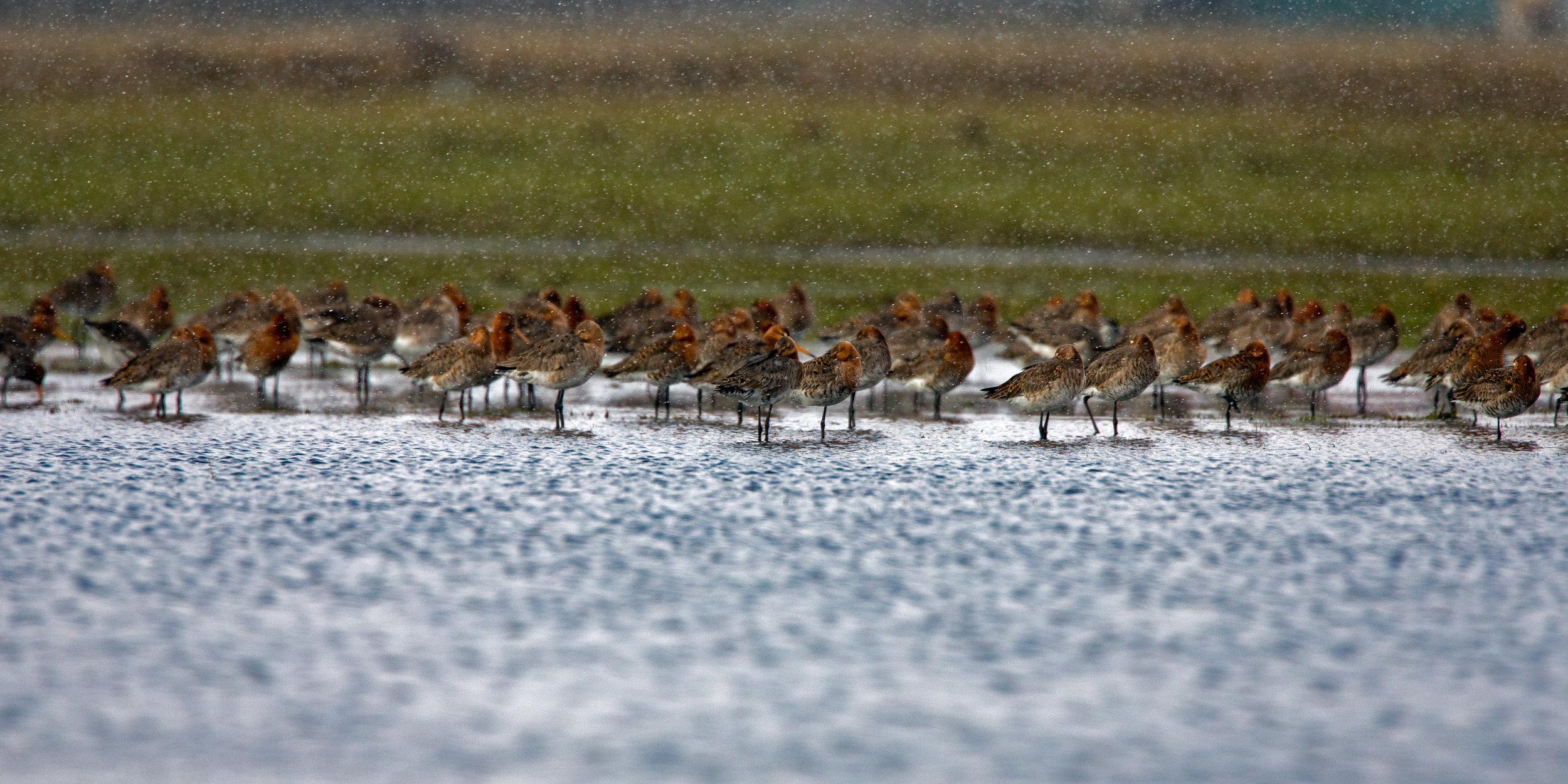 Black tailed godwits