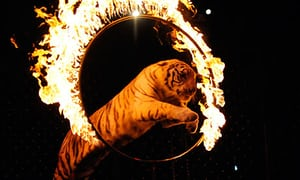 A-tiger-leapes-through-a--010.jpg