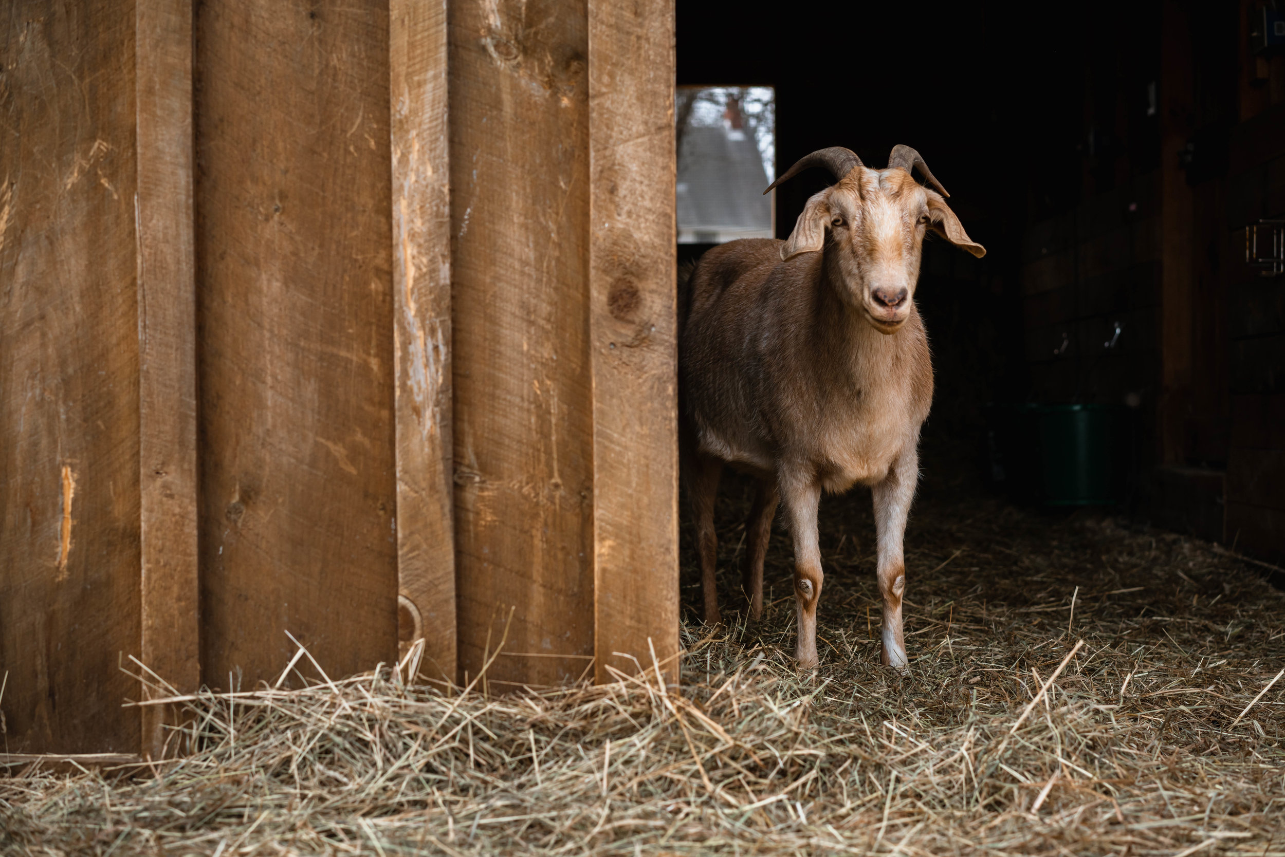 In the Fall of 2015, multiple sanctuaries  rescued over 120 animals from a backyard butcher  in Montgomery, NY. Hallie (pictured) was one of the baby goats born from one of the rescued mothers.