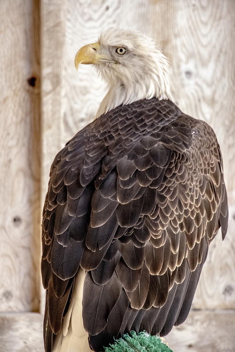 Eagle 2 small.jpg