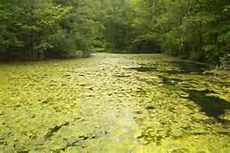 algae blooms.jpg