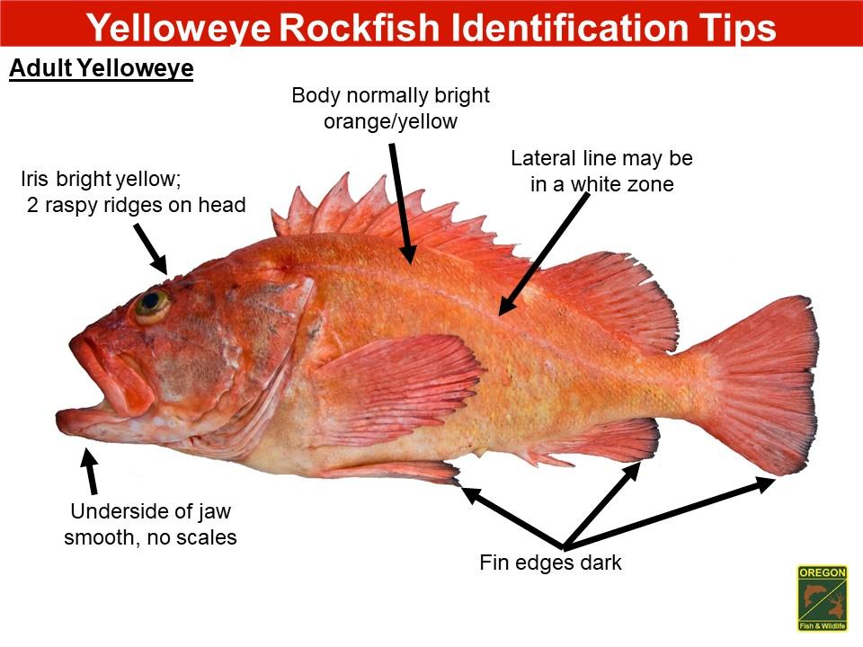 Yelloweye rockfish1.JPG