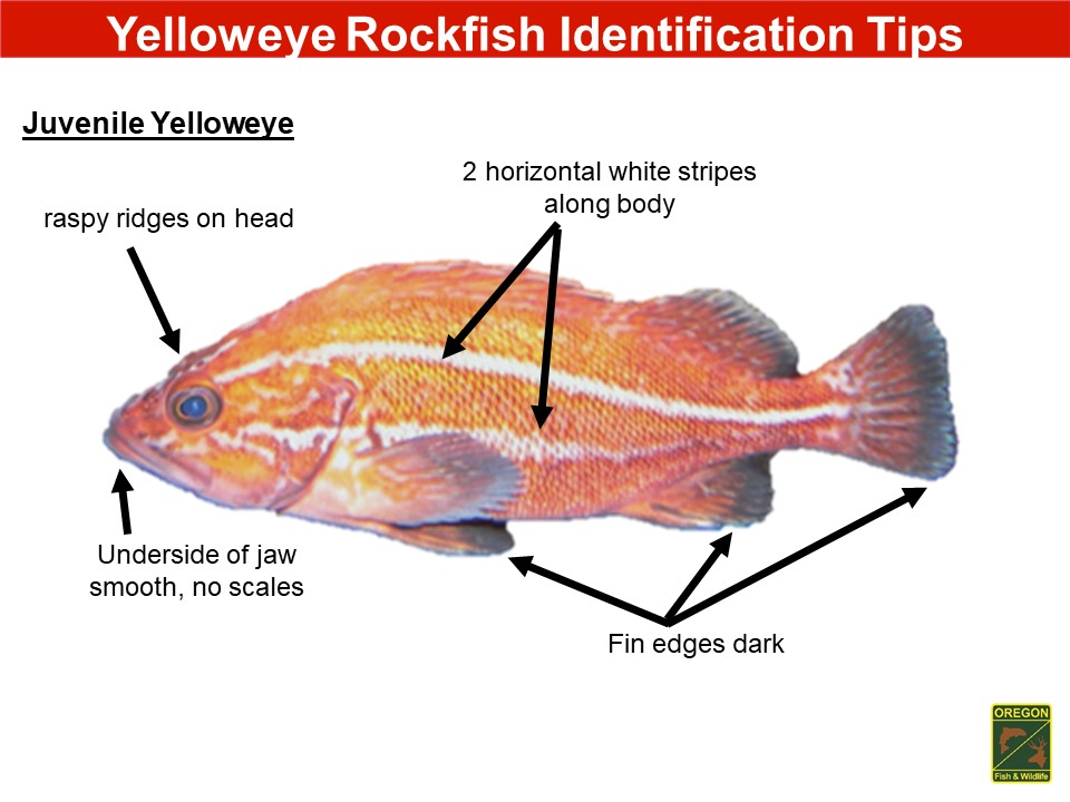 Yelloweye rockfish2.JPG
