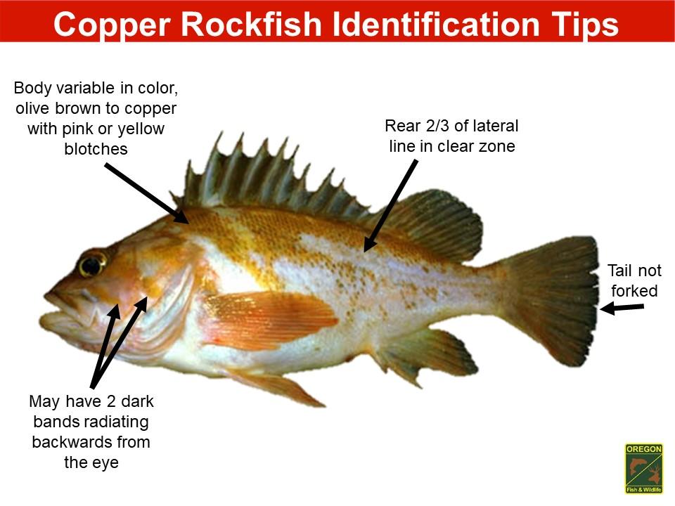 Yelloweye rockfish5.JPG