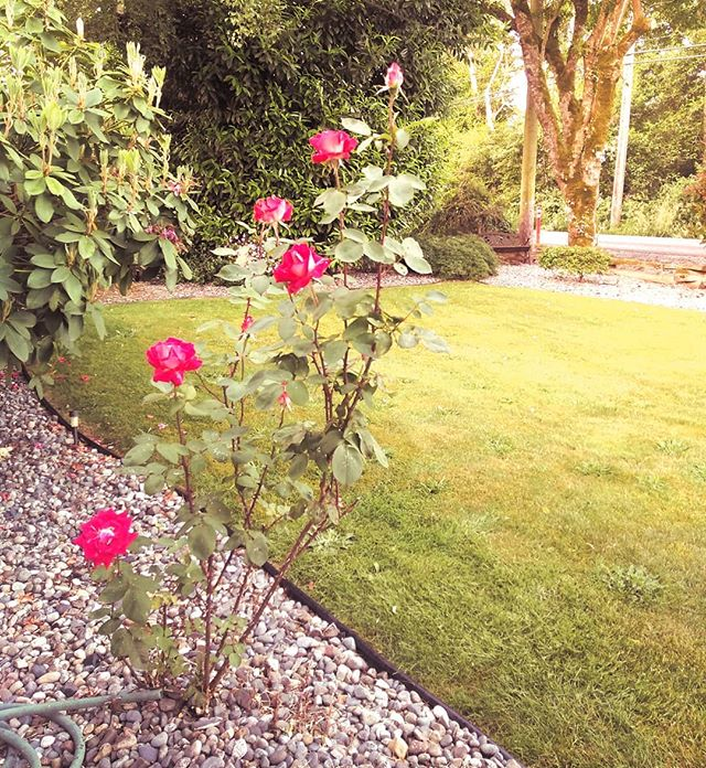 Roses are bloomin.  #roses #rose #garden #yard