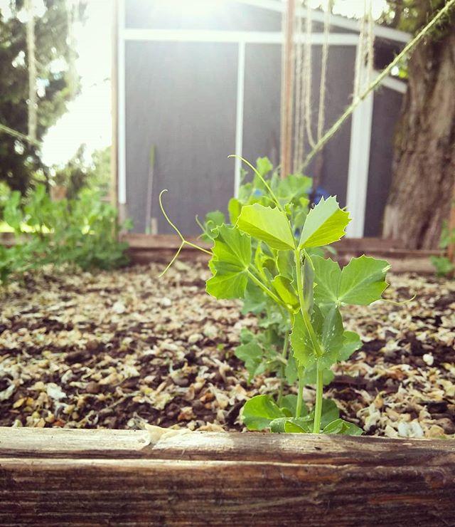 Grow little peas, grow.  #peas #garden #babyplants