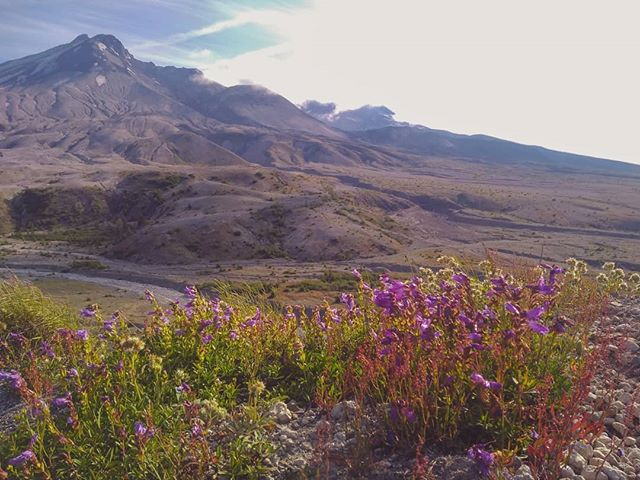 We traded fireworks for wildflowers and stargazing.  #mtsthelens #loowittrail #wildflowers #pnw #hiking