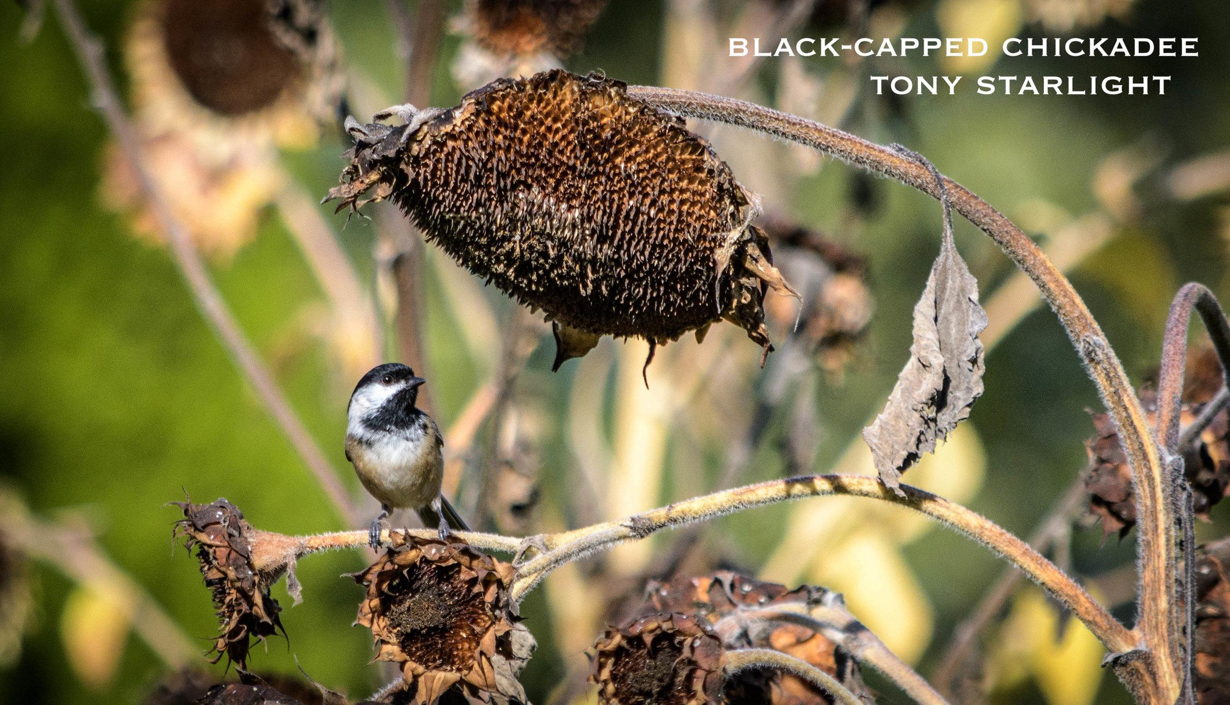 Black-capped Chickadee DSC_0271.jpg