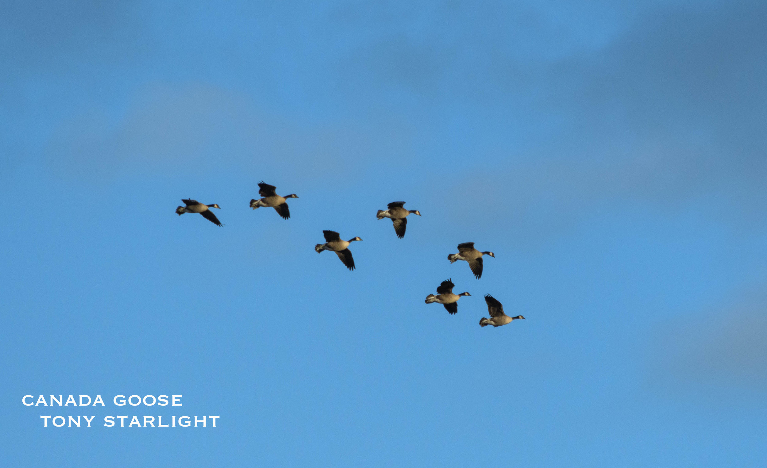 Canada Goose Sauvie Island DSC_1193.jpg