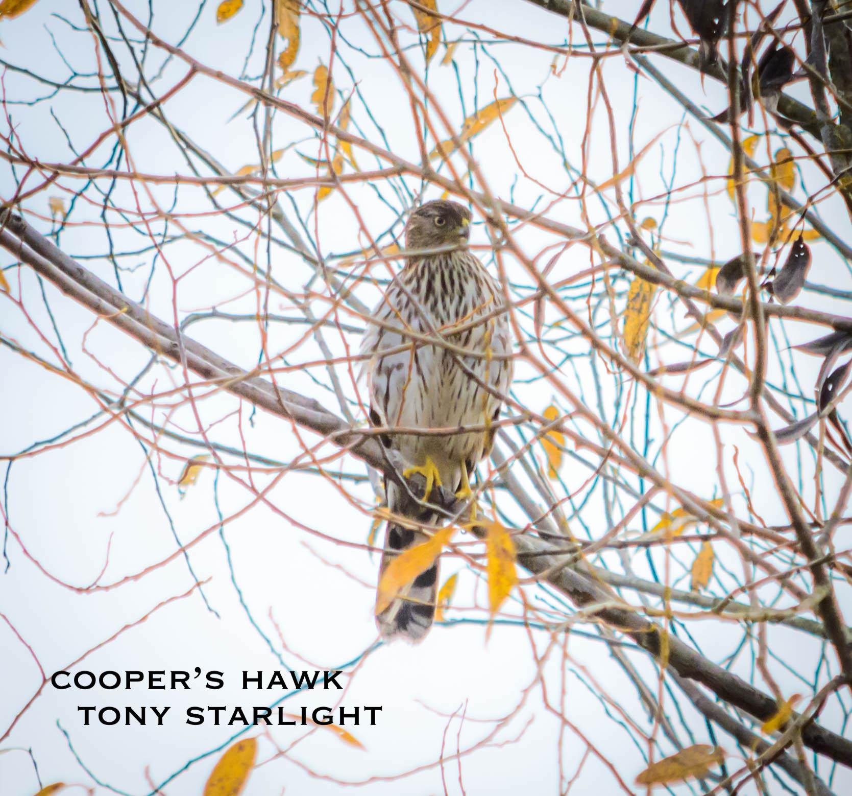 Cooper's Hawk DSC_1031.jpg