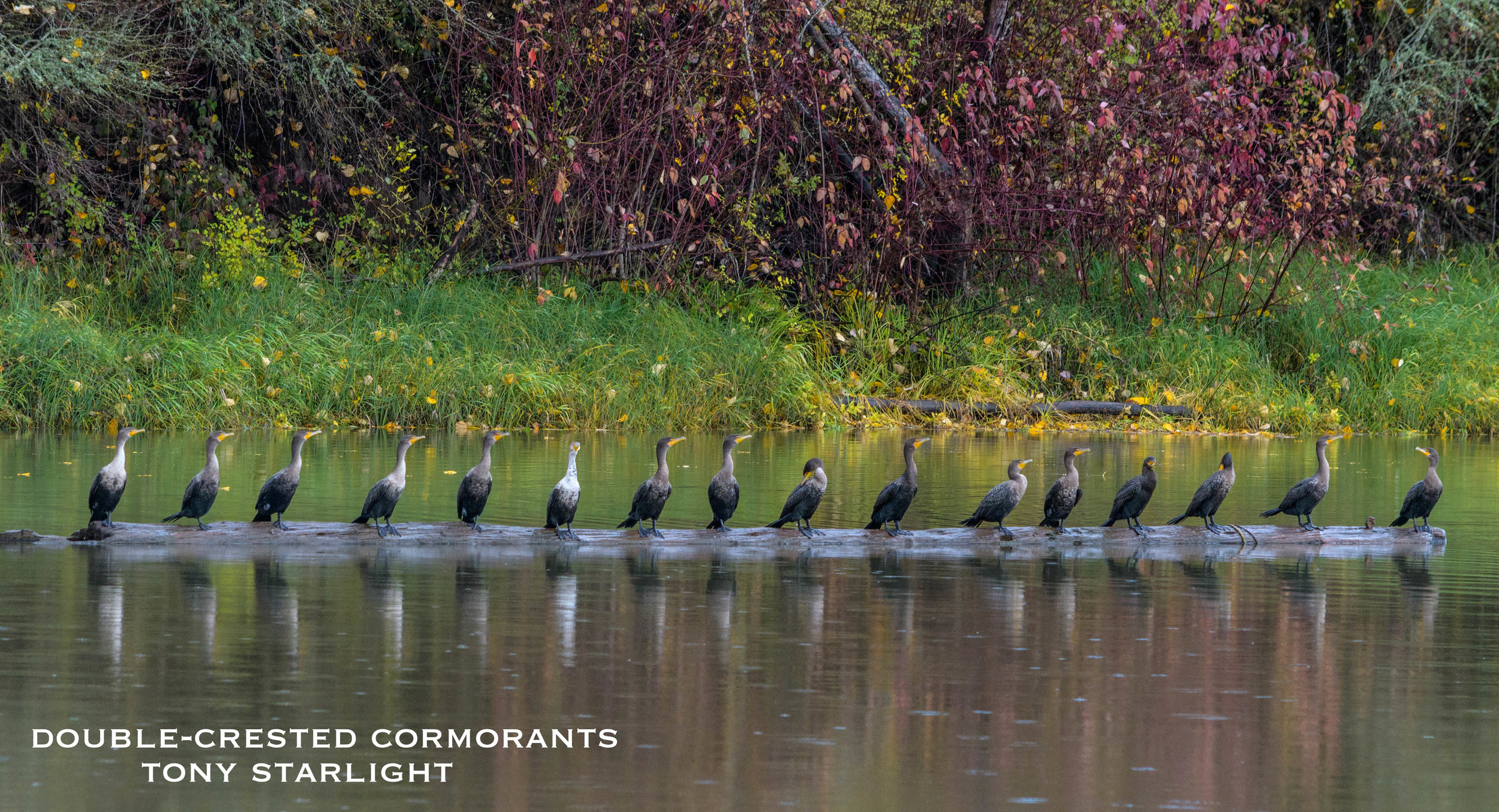 Double-crested Cormorant group in line DSC_0991.jpg
