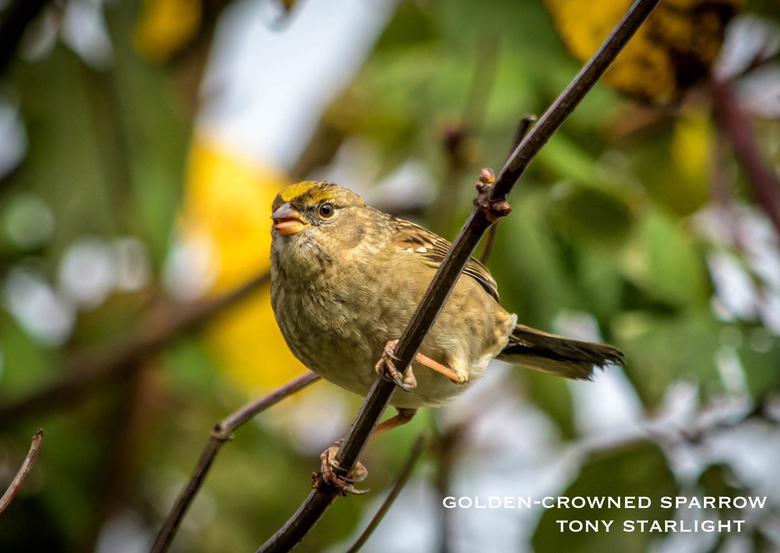 Golden-crowned Sparrow DSC_1072.jpg