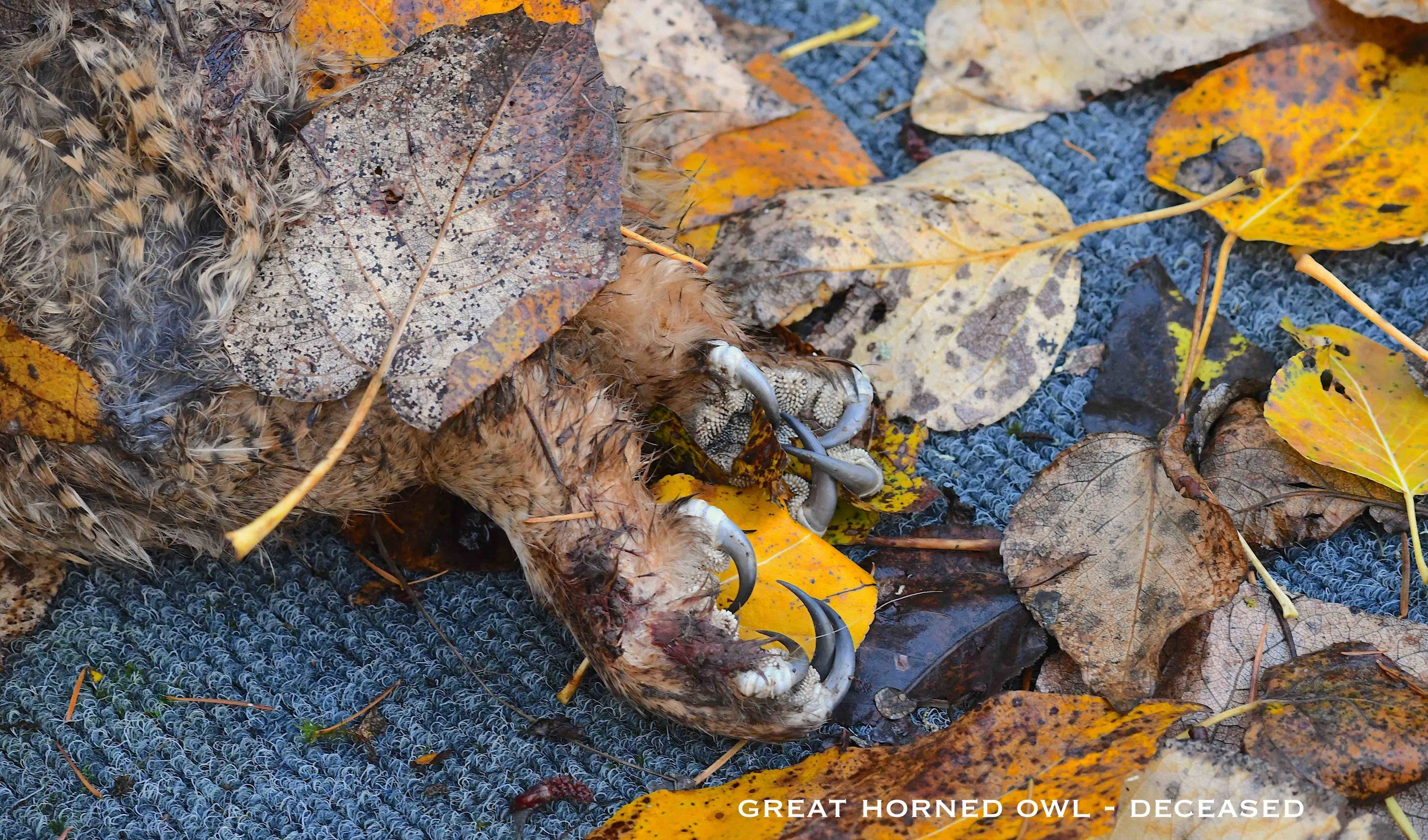 Great Horned Owl deceased DSC_0972.JPG edited small.jpg