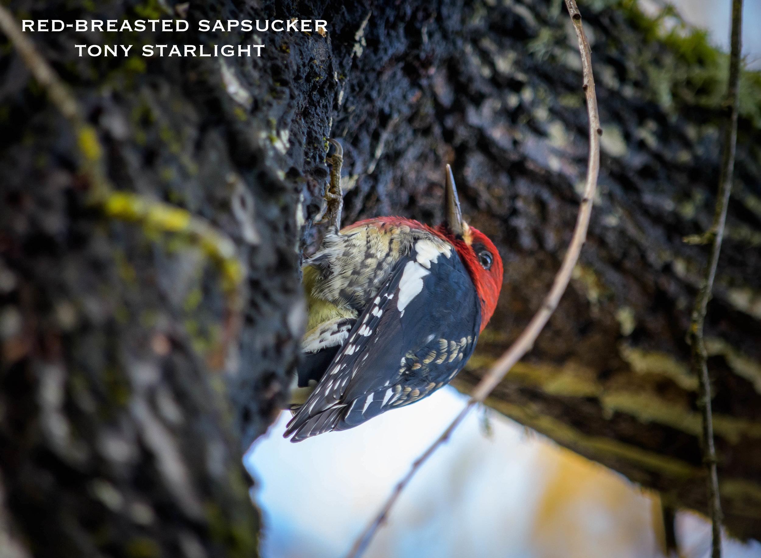 Red-breasted Sapsucker DSC_0741.jpg