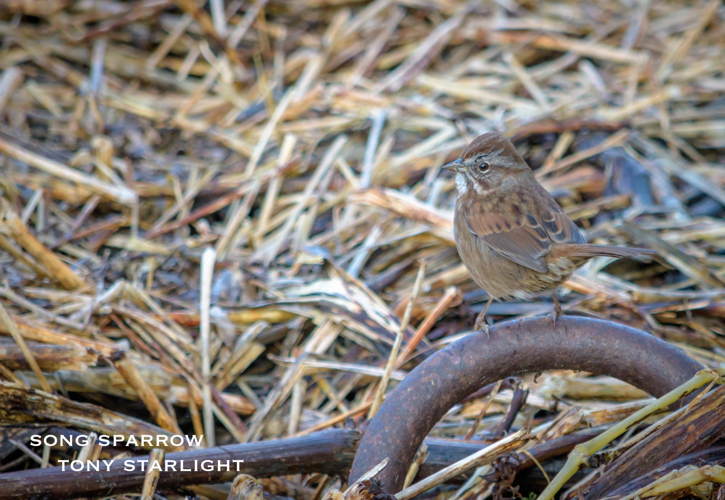 Song Sparrow DSC_1096.jpg