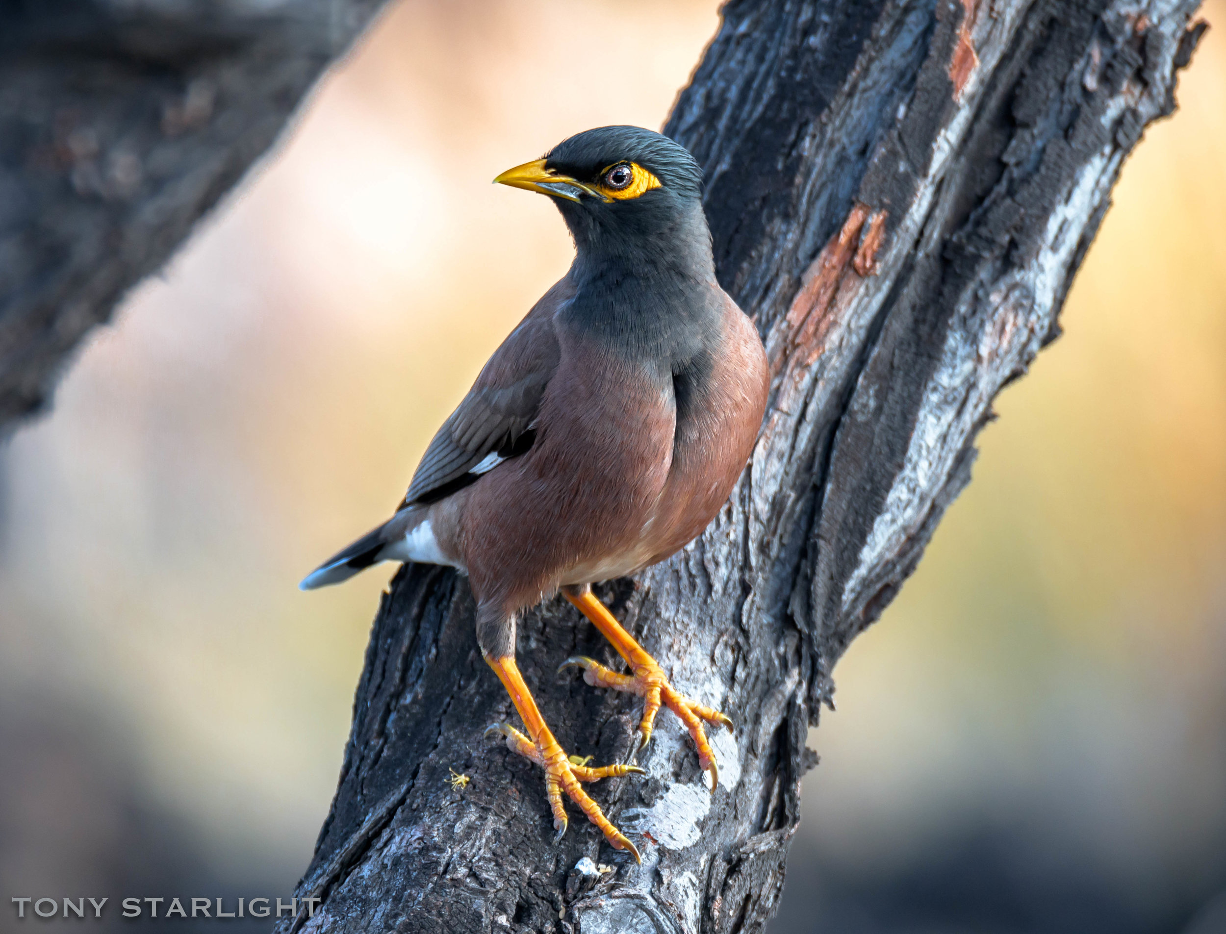 Common Myna - Seen at the airport in a tree by the baggage claim. I scrambled to get the camera out of my luggage. Lucky I did, too. I only saw another 13,437 Mynas over the course of the next week.
