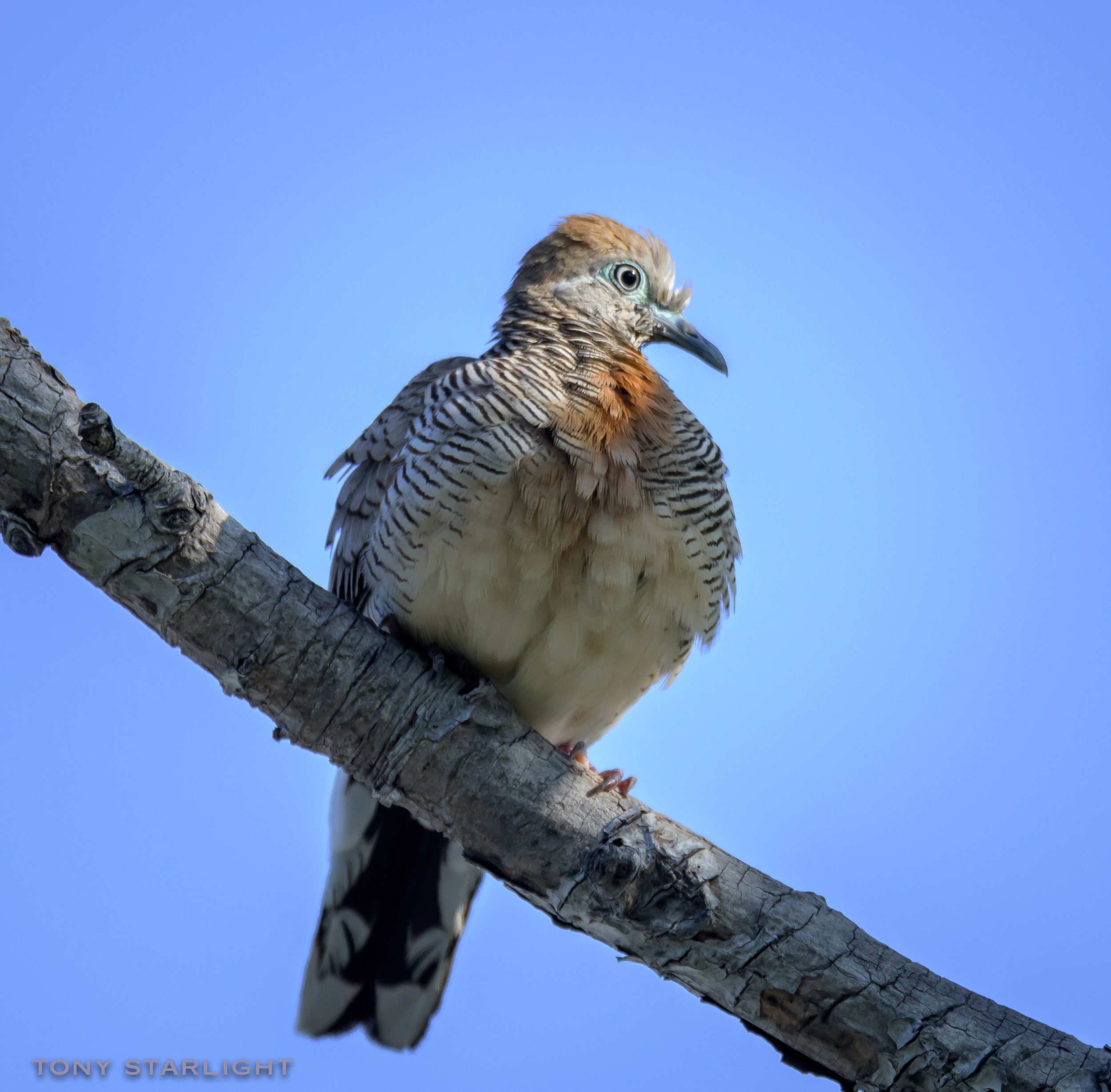 Zebra Dove - They should have their own reality show.