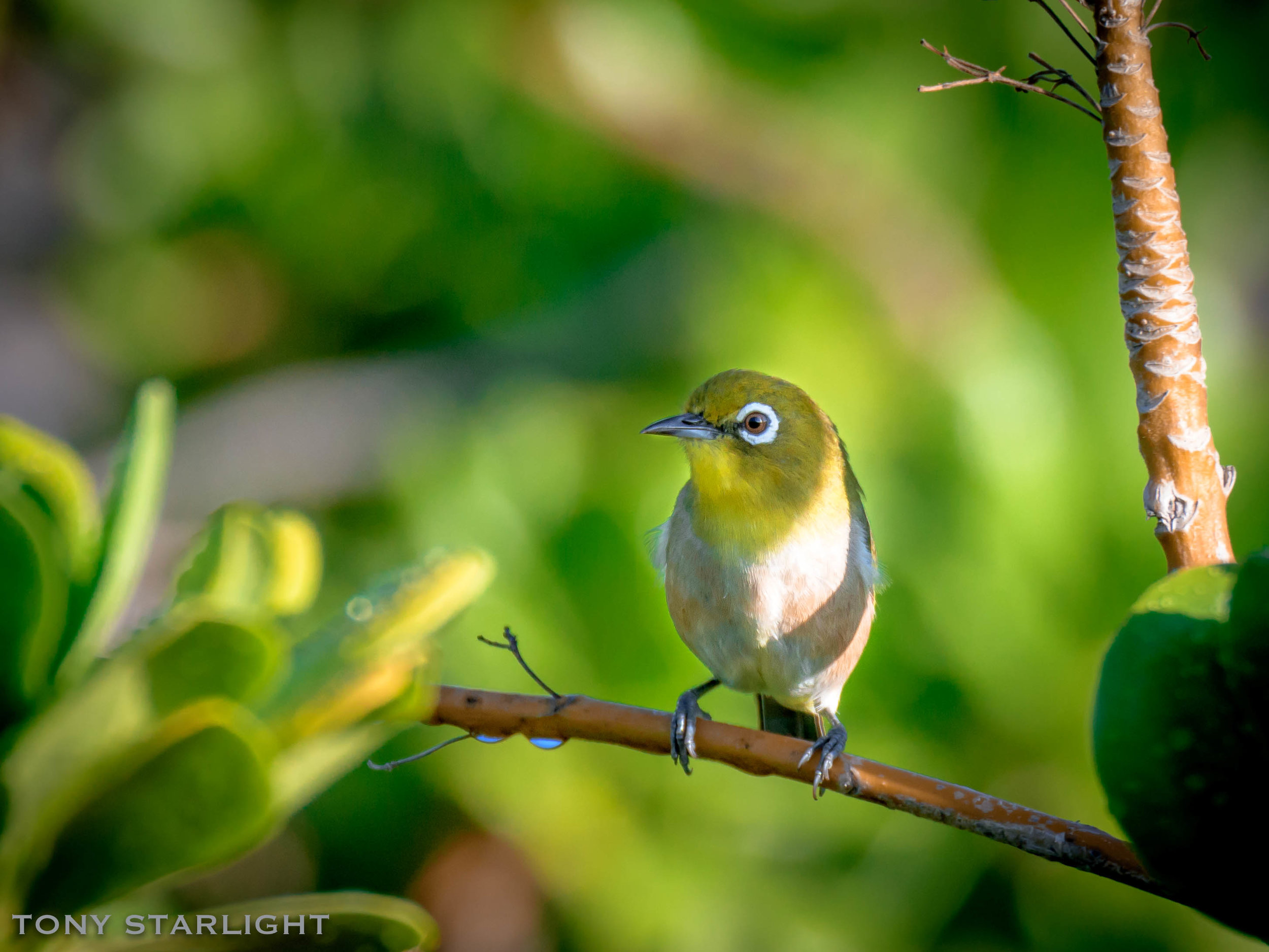 "Japanese White-eye - I was told this is the Big Island's most ubiquitous bird, found in each habitat, elevation, and micro-climate throughout the island. That big circle around the eye reminds me of the dog from Our Gang, aka ""The Little Rascals""."
