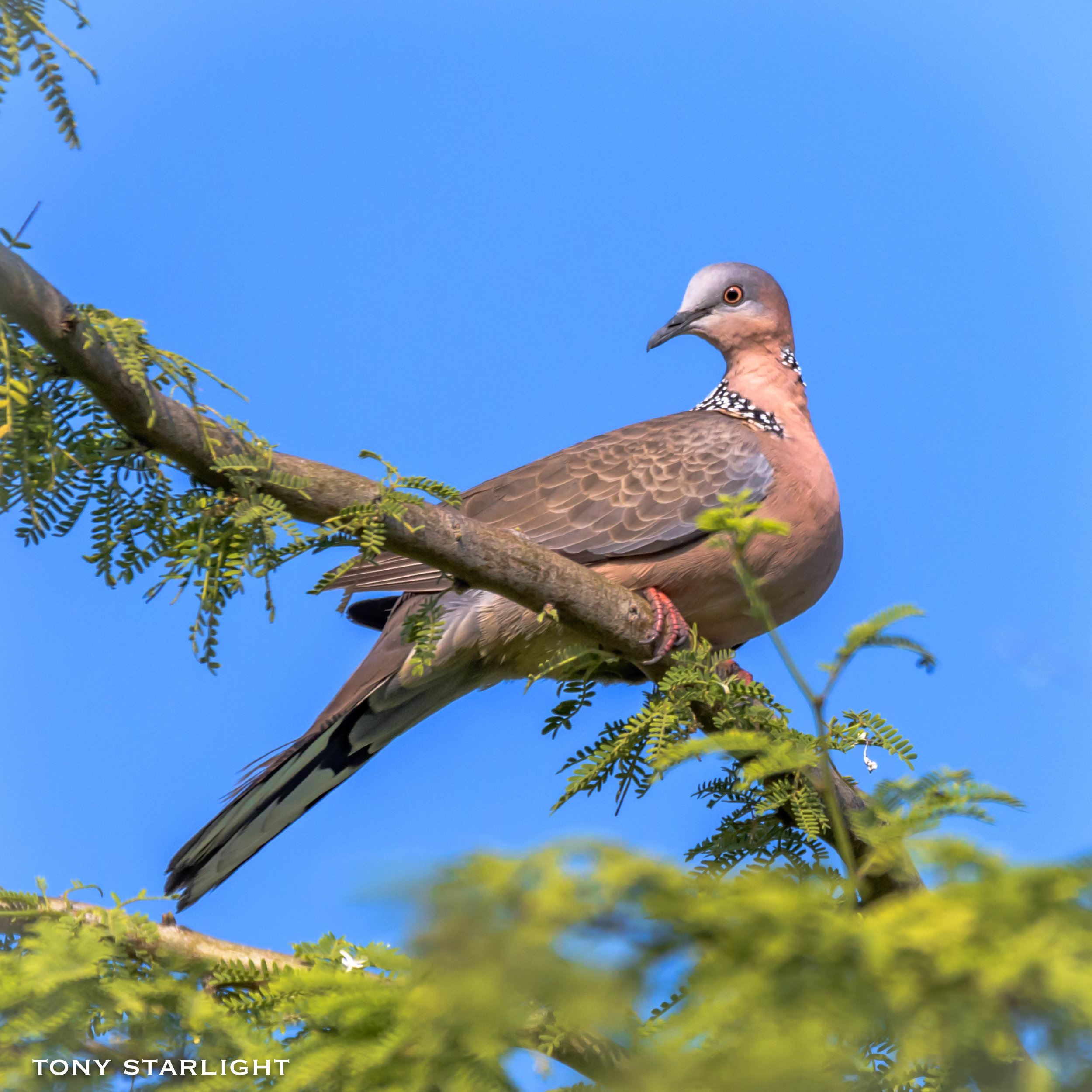 Spotted Dove - Twice the size of the more common Zebra Dove. Very reminiscent of the Eurasian Collared-dove from home. Can be heard cooing in the morning hours.
