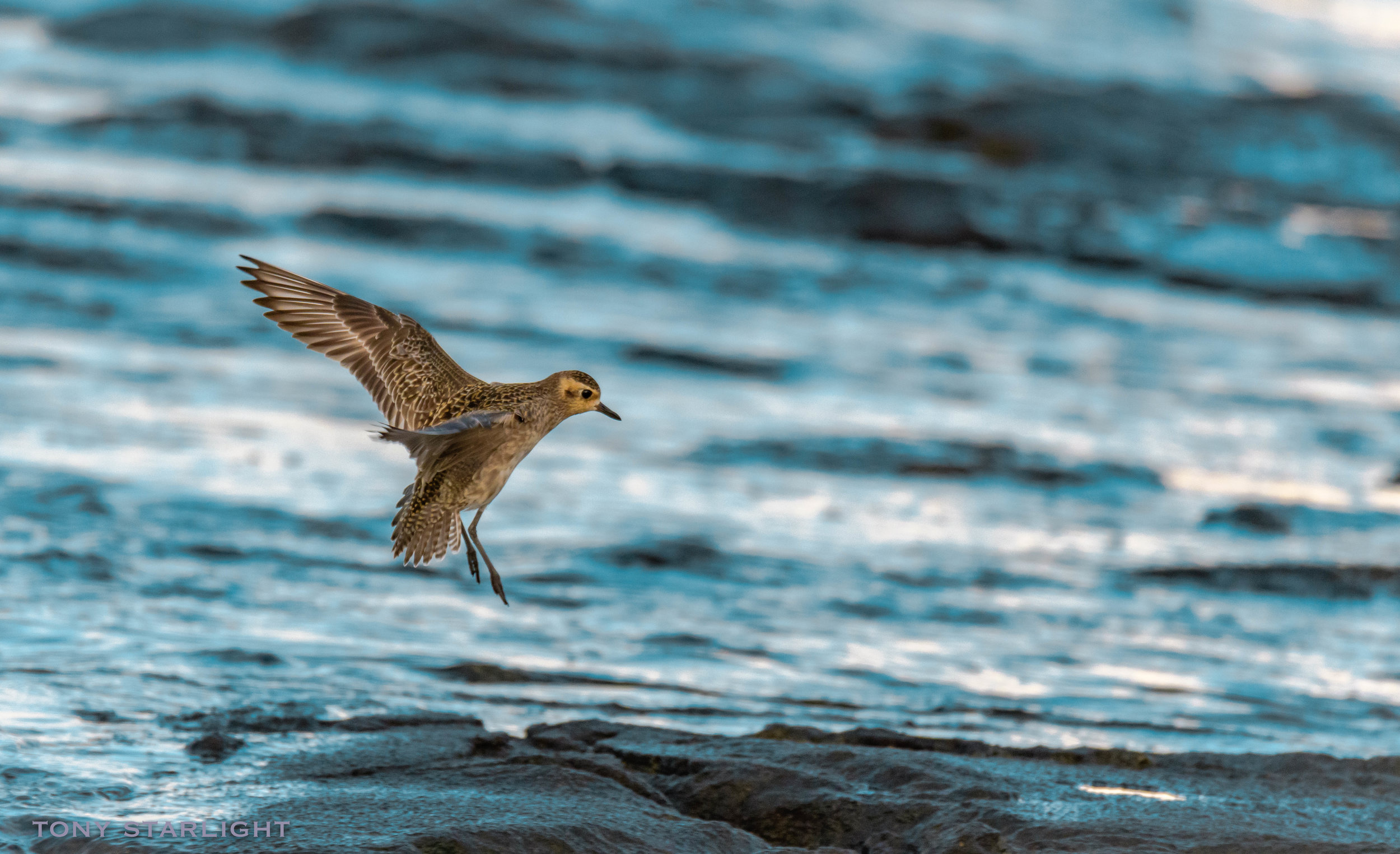 Pacific Golden-plover - These loners can be seen at odd locations throughout the island. Hotels, golf courses, lava rocks, beaches, parking lots. And even mid-air.