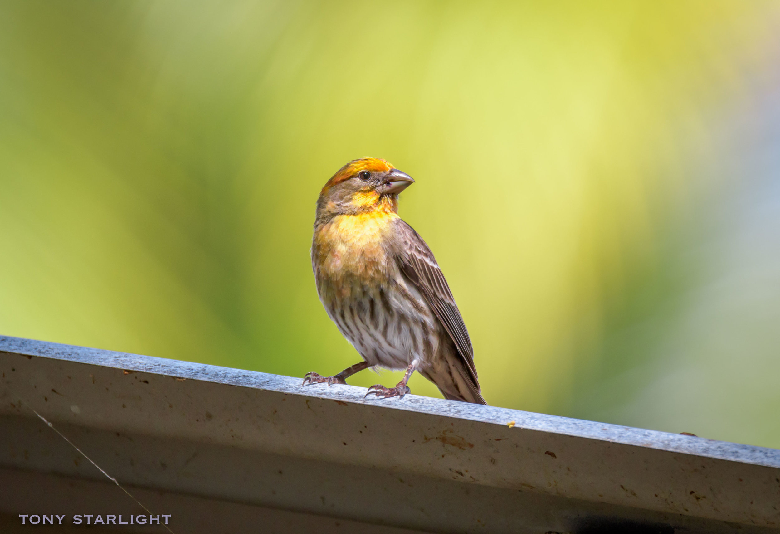 House Finch - Normally I wouldn't include such a common bird from home, but he posed so beautifully in the light and at just the perfect angle, and basically demanded inclusion in this photo journal. His diet induced yellow coloration is different from the red we see in the Pacific Northwest. After seeing him, I avoided eating Pupus and Loco Moco for fear of turning yellow myself. (Although I somehow returned from Hawaii with an obvious pink hue.)