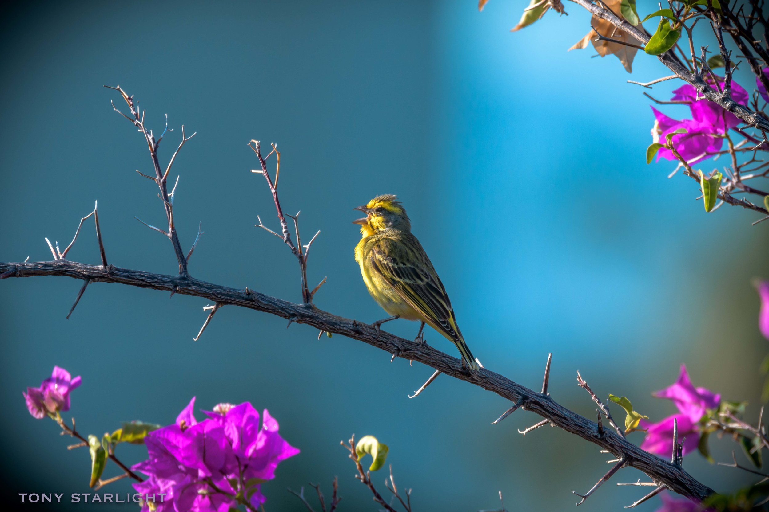 """I'm the King of the World"" - Yellow-fronted Canary"