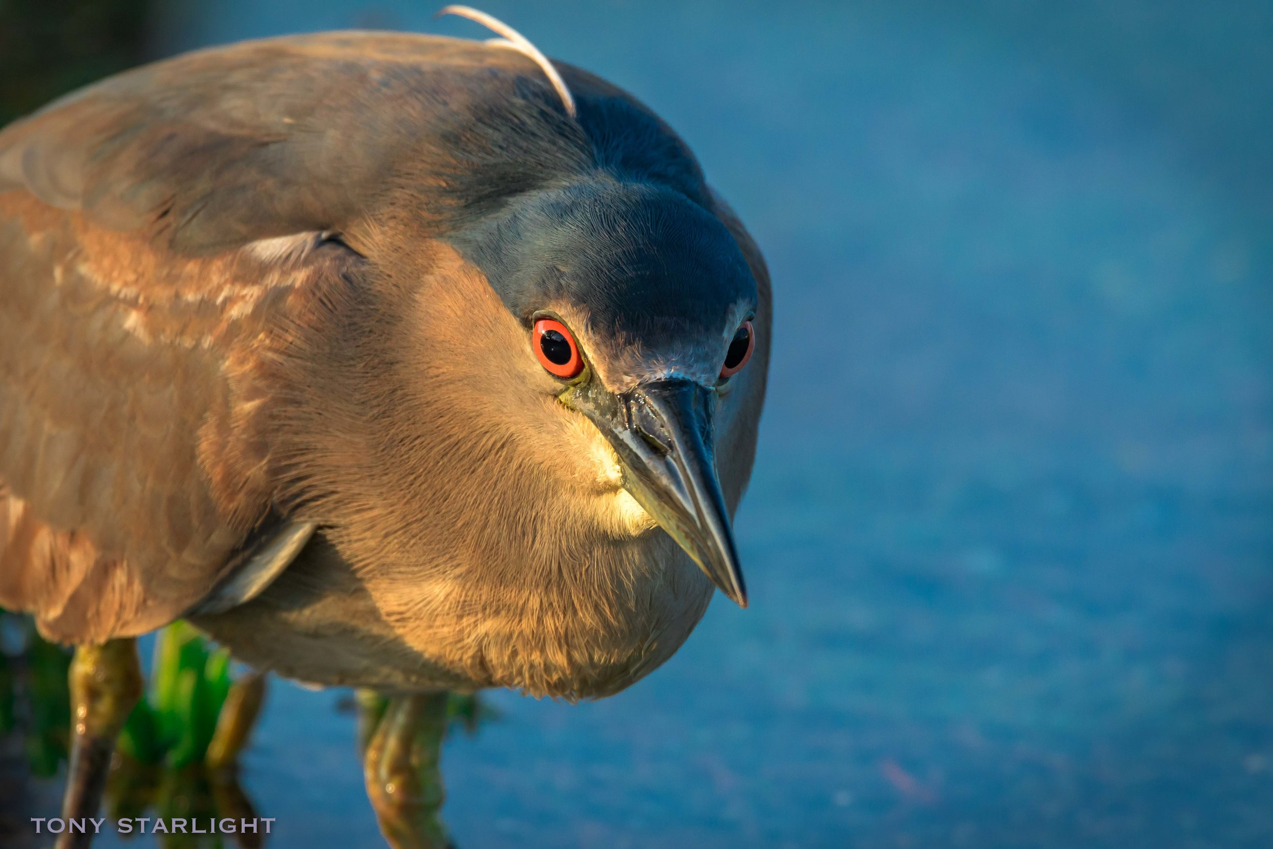 Black-crowned Night-Heron - I've seen several of these in Florida and Oregon but couldn't get any decent pictures, and now I'm blessed with several nice pics.I always wondered what happens when people with hyphenated last names married. I guess it's kinda like this bird's name. Now I know.