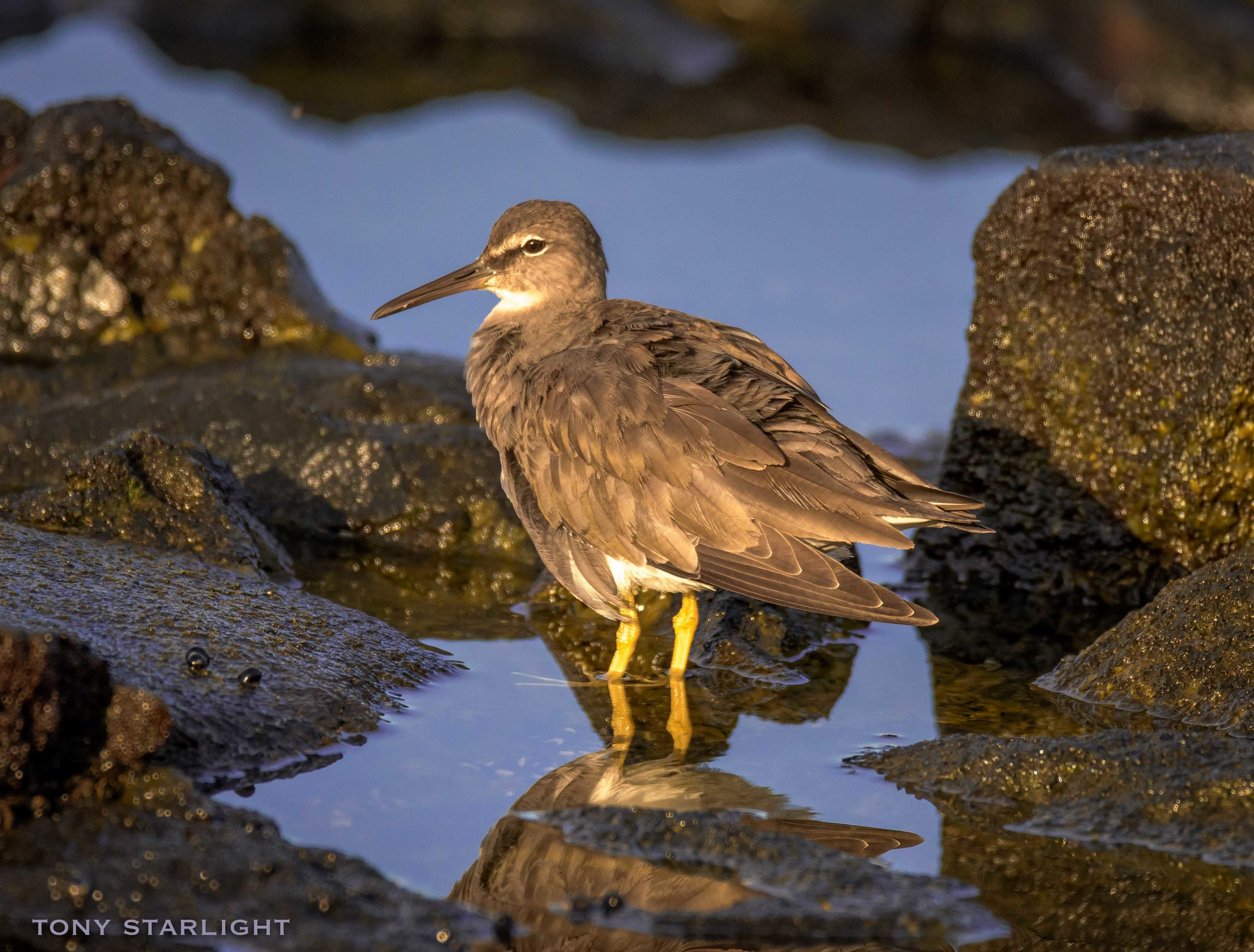 Wandering Tattler - Seen from a restaurant patio and originally dismissed as having spotted a Spotted Sandpiper. But I ventured off the patio and onto the lava rocks, camera in one hand, Mai Tai in the other. Dangerous, I know. I almost dropped the little paper umbrella.