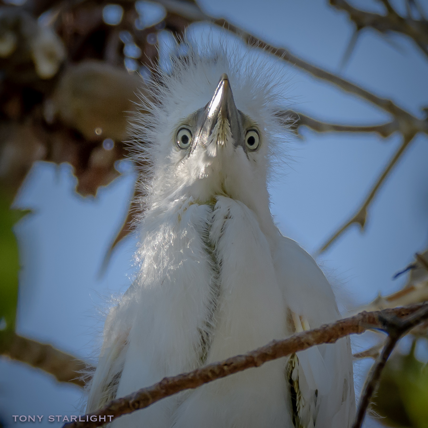 """Cattle Egret juvenile - Not able to get a better view, I walked beneath a tree teeming with baby egrets. I noticed they were busy trying to """"whitewash"""" the beach below their heronry, but I bravely ventured in and managed a picture of this little guy gazing down on me."""