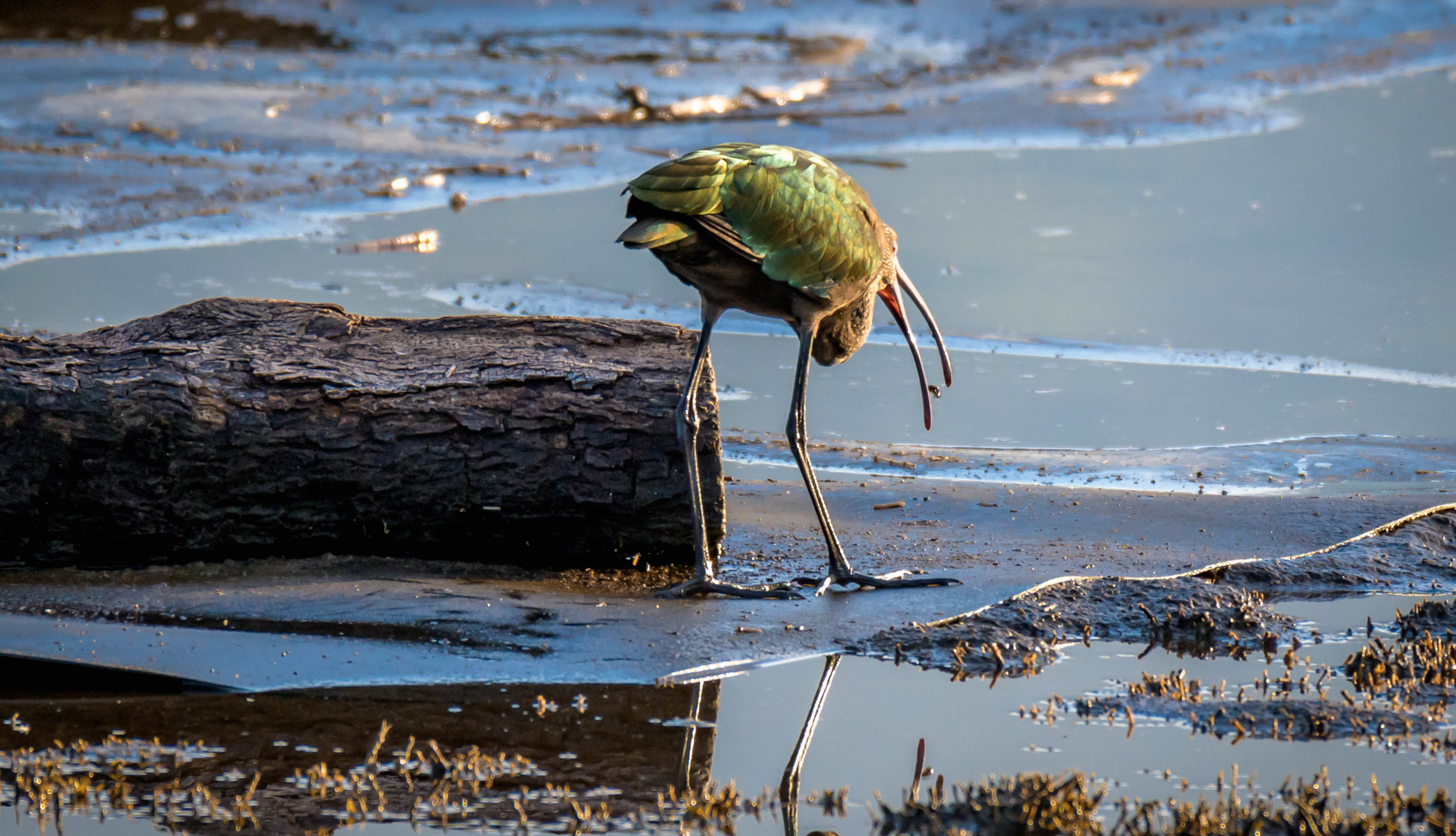 White-faced Ibis - I'll have to take everyone's word he has a white face. I would have named him a Green-butted Ibis since all I ever saw was his keester.