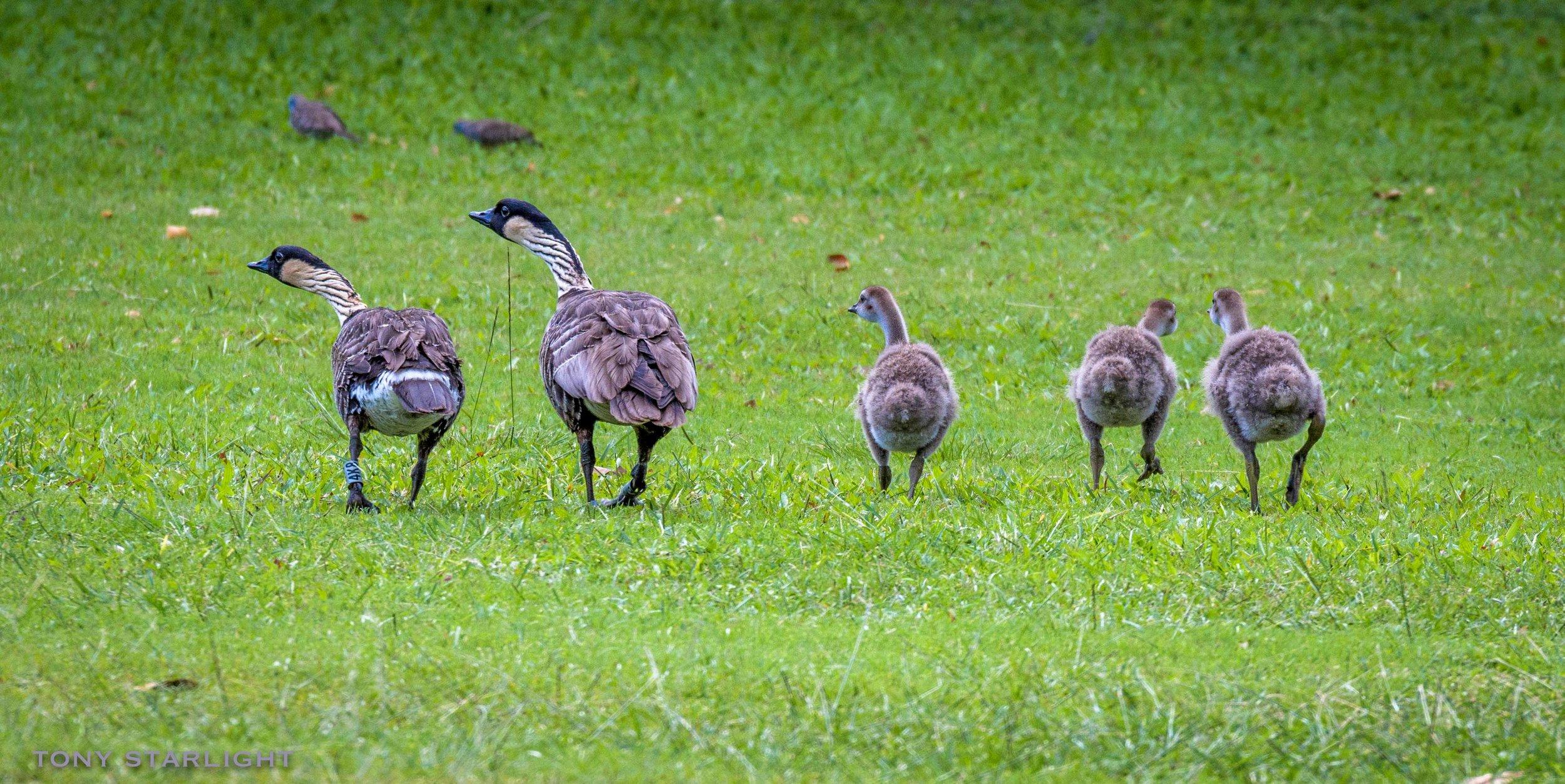 Hawaiian Goose family gosling chicks Hawaii DSC_5770-1.jpg