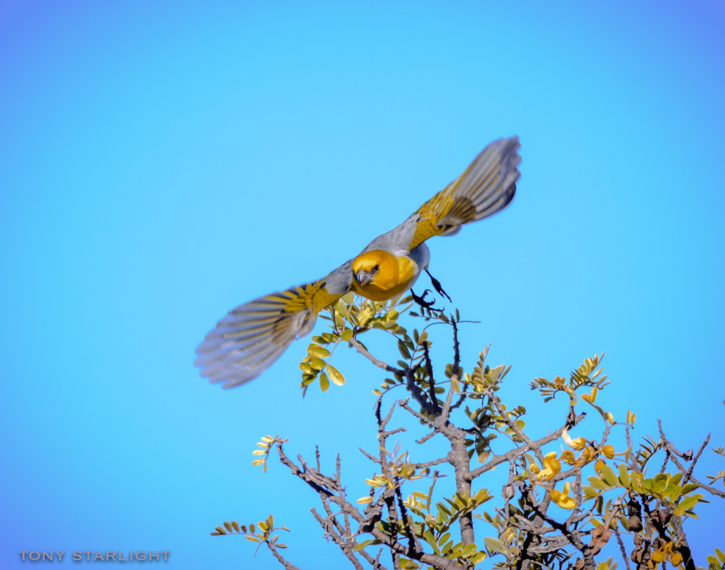 Palila - Palila are finicky eaters, feeding almost exclusively on mamane trees. They're pickier eaters than a toddler with early onset affluenza.