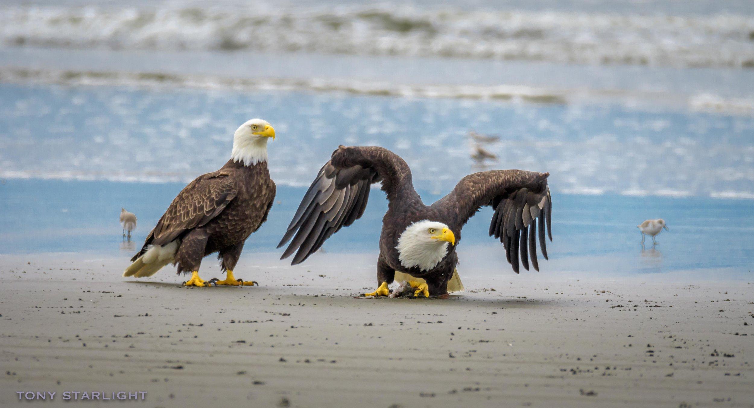 Bald Eagle pair Long Beach, WA DSC_8823-1.jpg