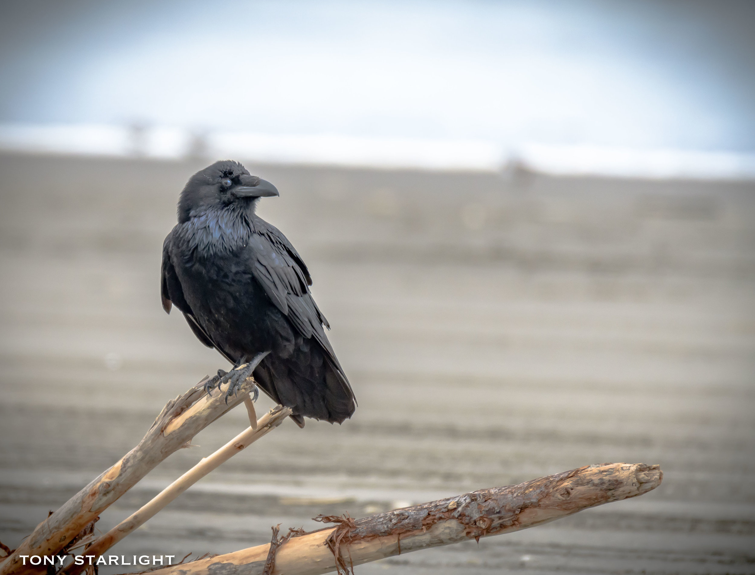 Common Raven - On the beach we mostly find scavengers. This guy was trying to sell me