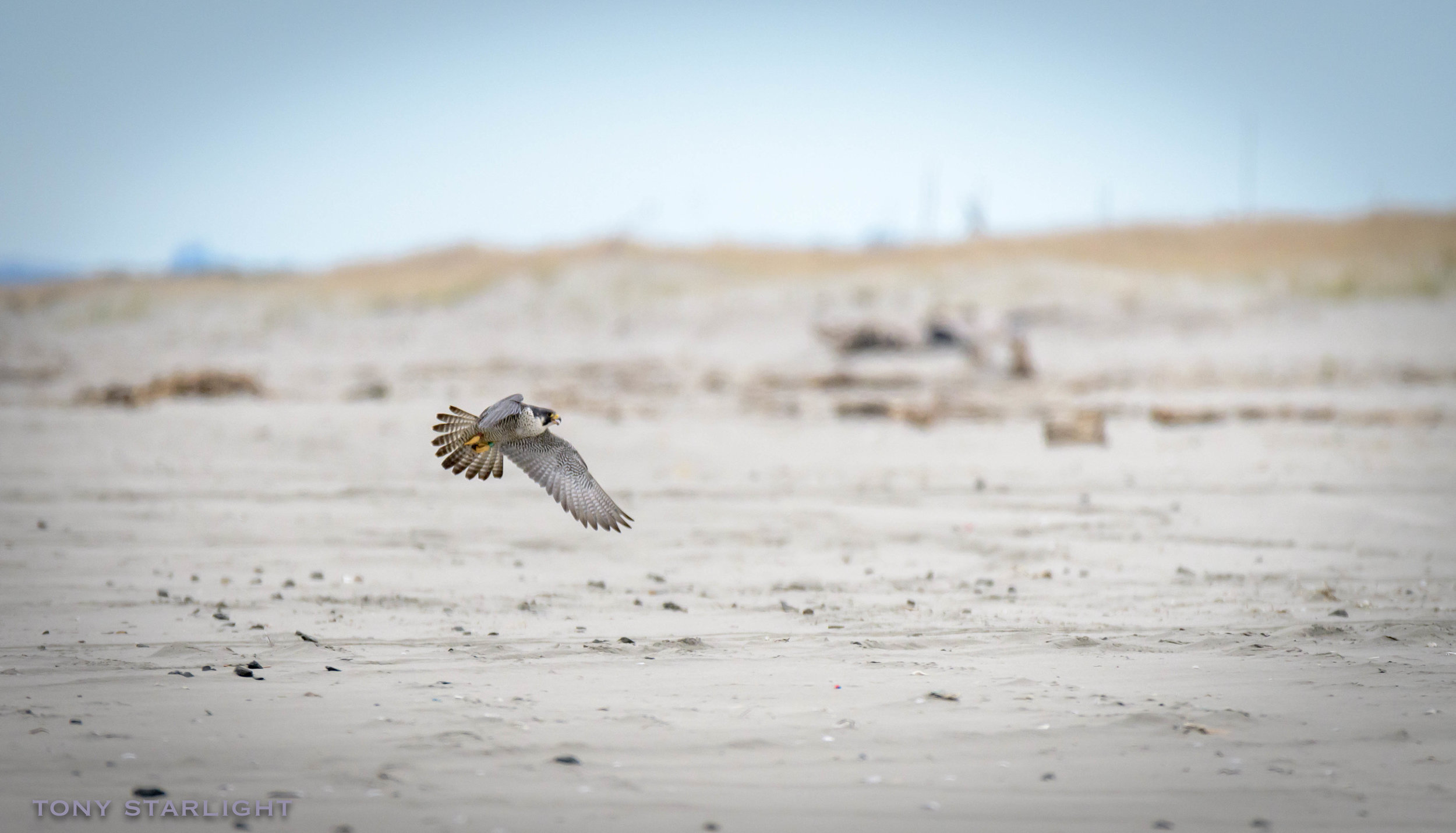 Peregrine Falcon W6 Long Beach, WA DSC_9003-1.jpg