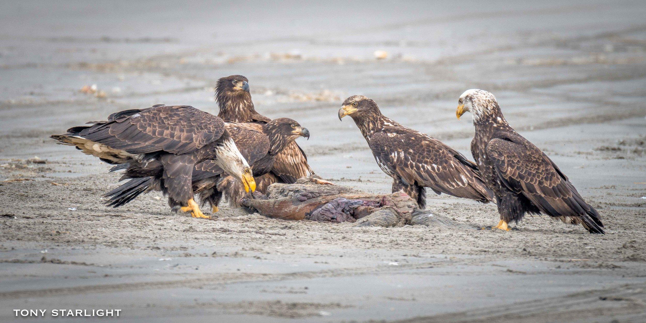 Bald Eagle group on a carcas Long Beach, WA DSC_8574-1.jpg