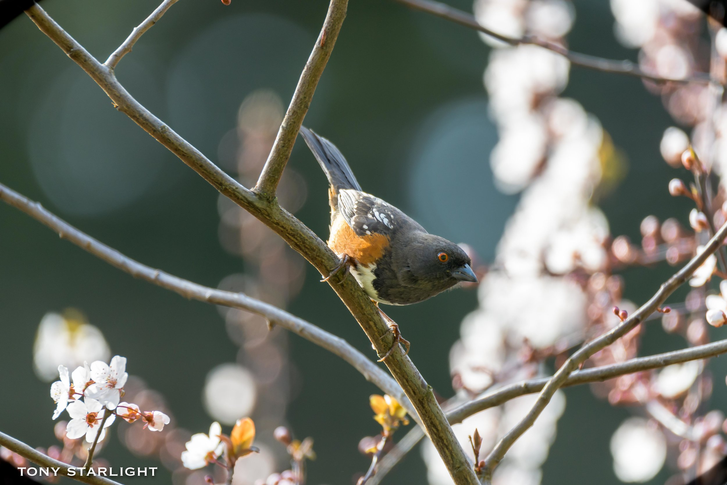 Spotted Towhee - When someone has wings and they're threatening to jump, it's a bit melodramatic.