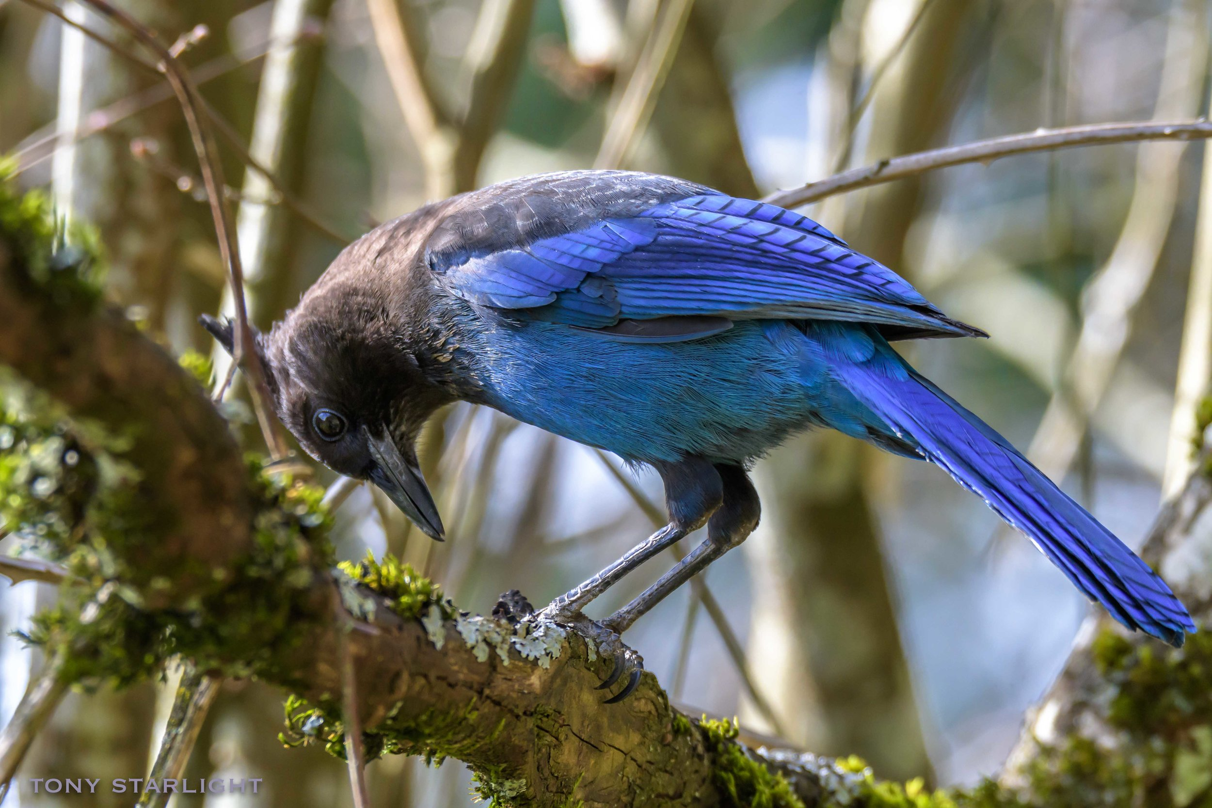 Steller's Jay - Before I had my bird awakening two years ago, I likely would have identified this as a blue crow.