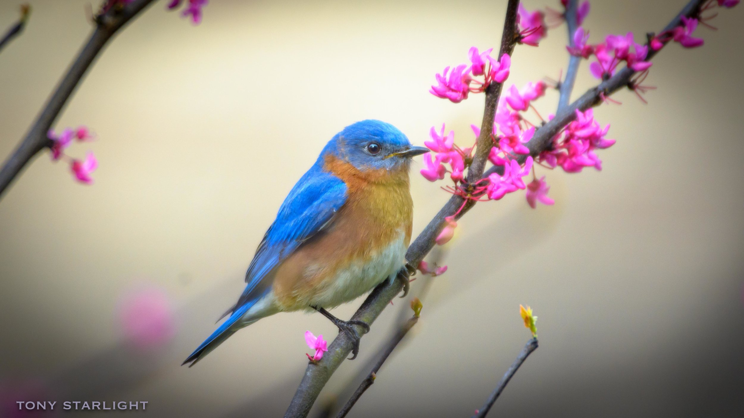 206) Eastern Bluebird - April 5, 2017Rome, Georgia