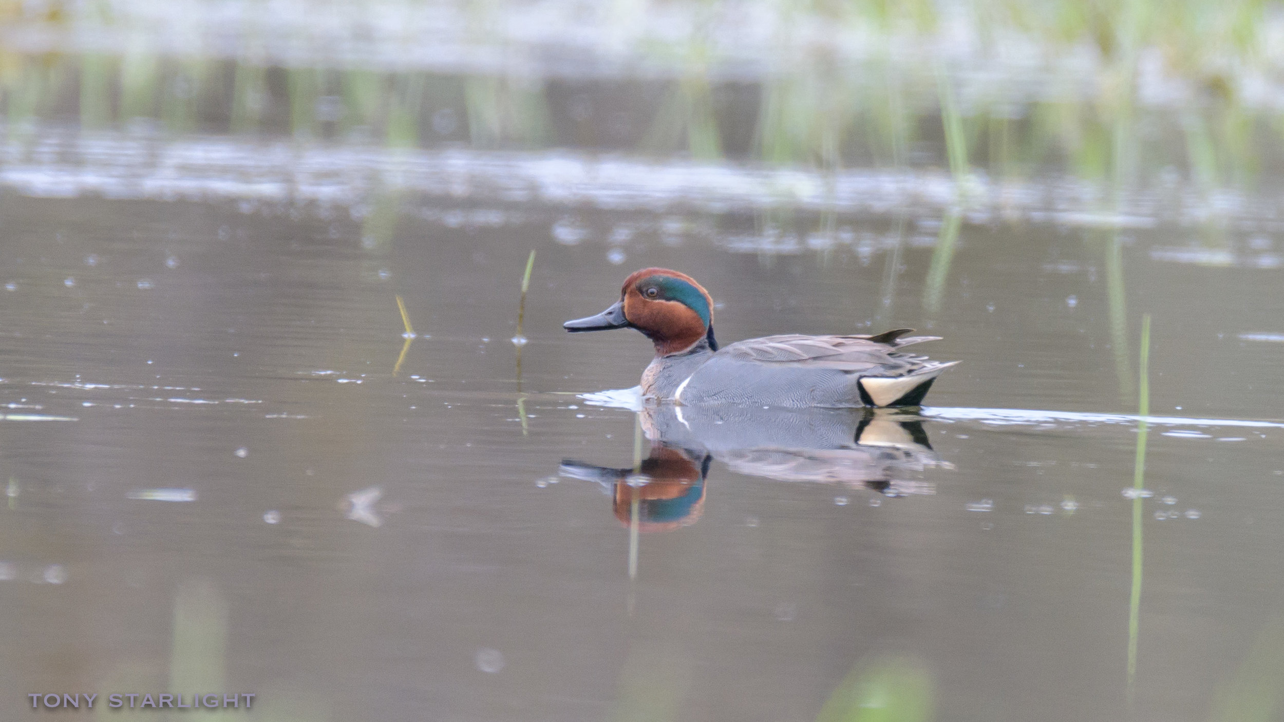 136) Green-winged Teal - December 10, 2016Scappoose, Oregon
