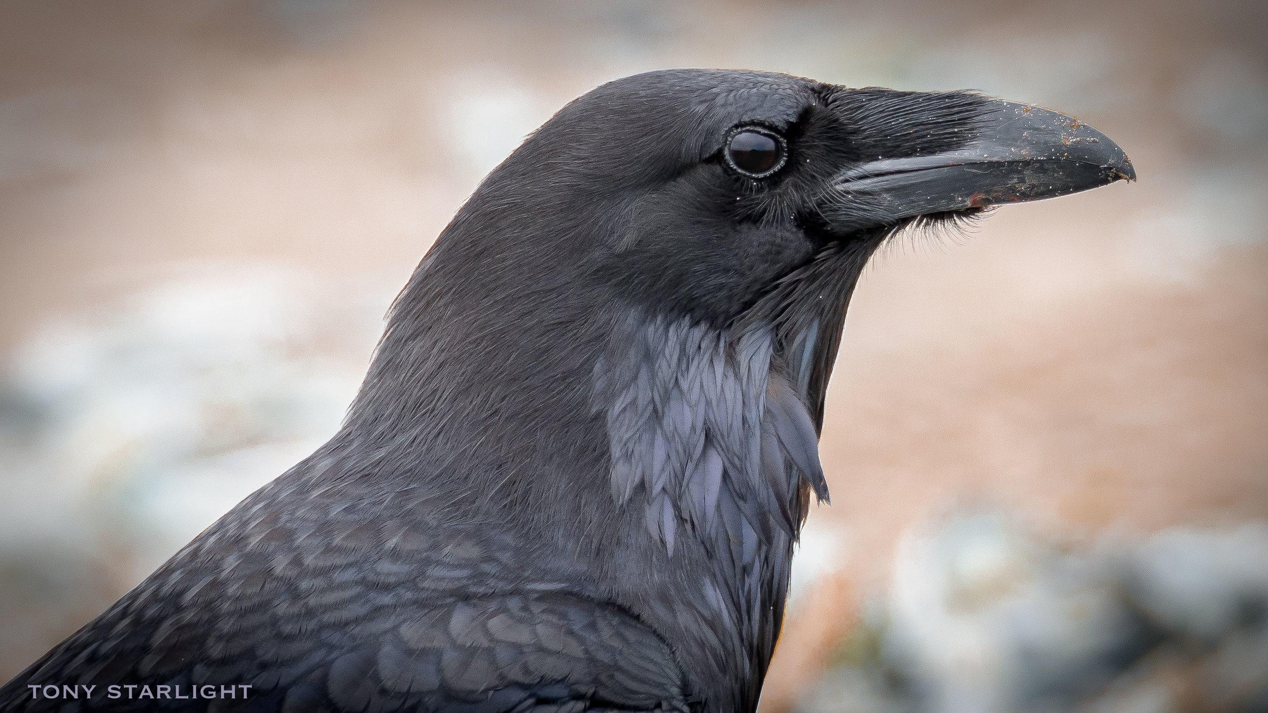 71) Common Raven - June 27, 2016Scappoose, Oregon